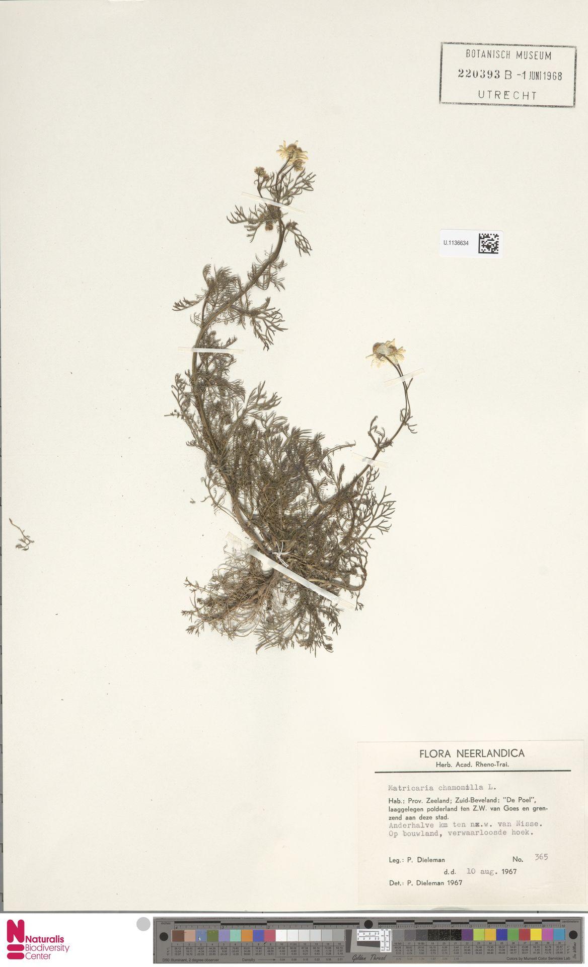 U.1136634 | Matricaria chamomilla L.