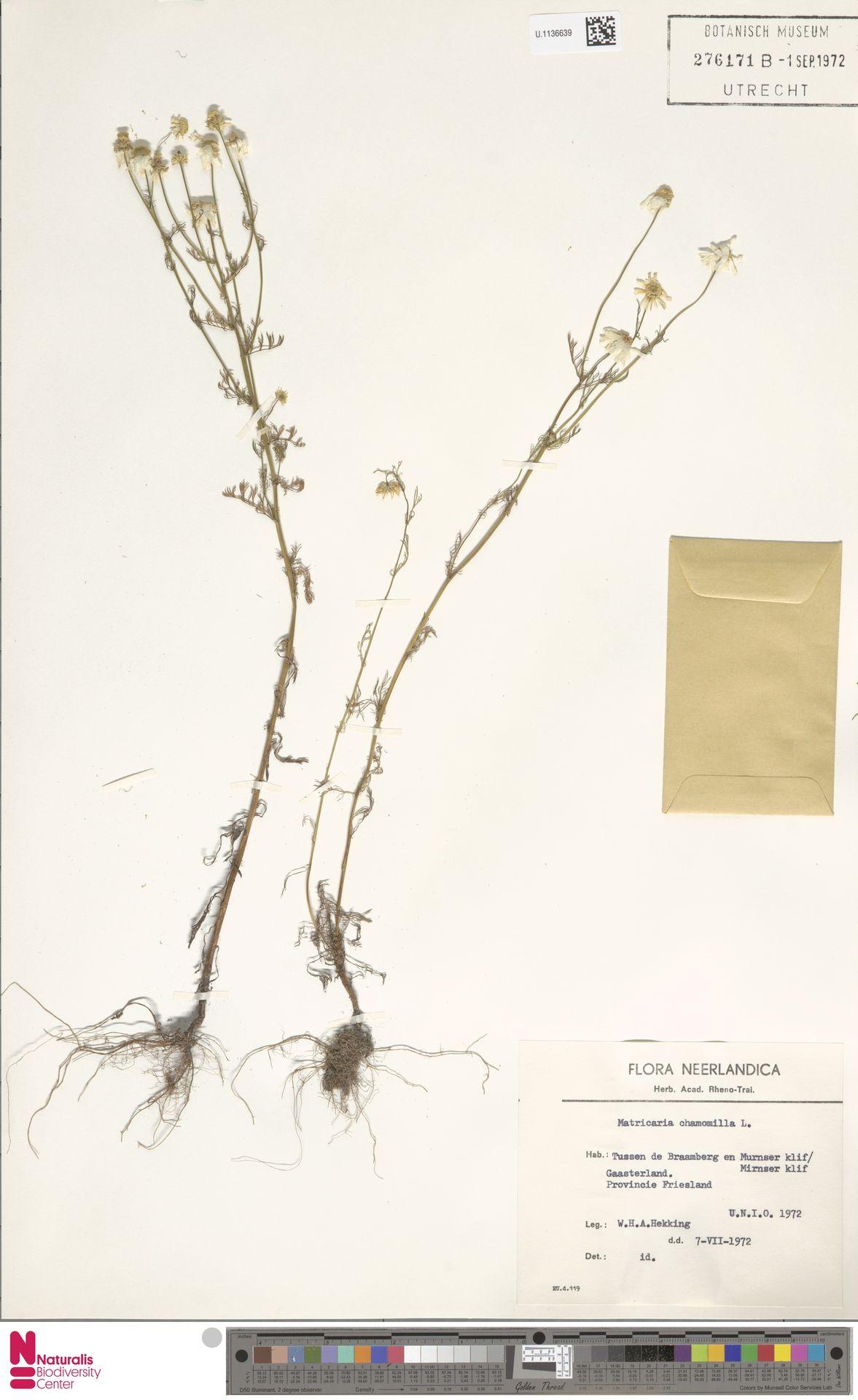 U.1136639 | Matricaria chamomilla L.