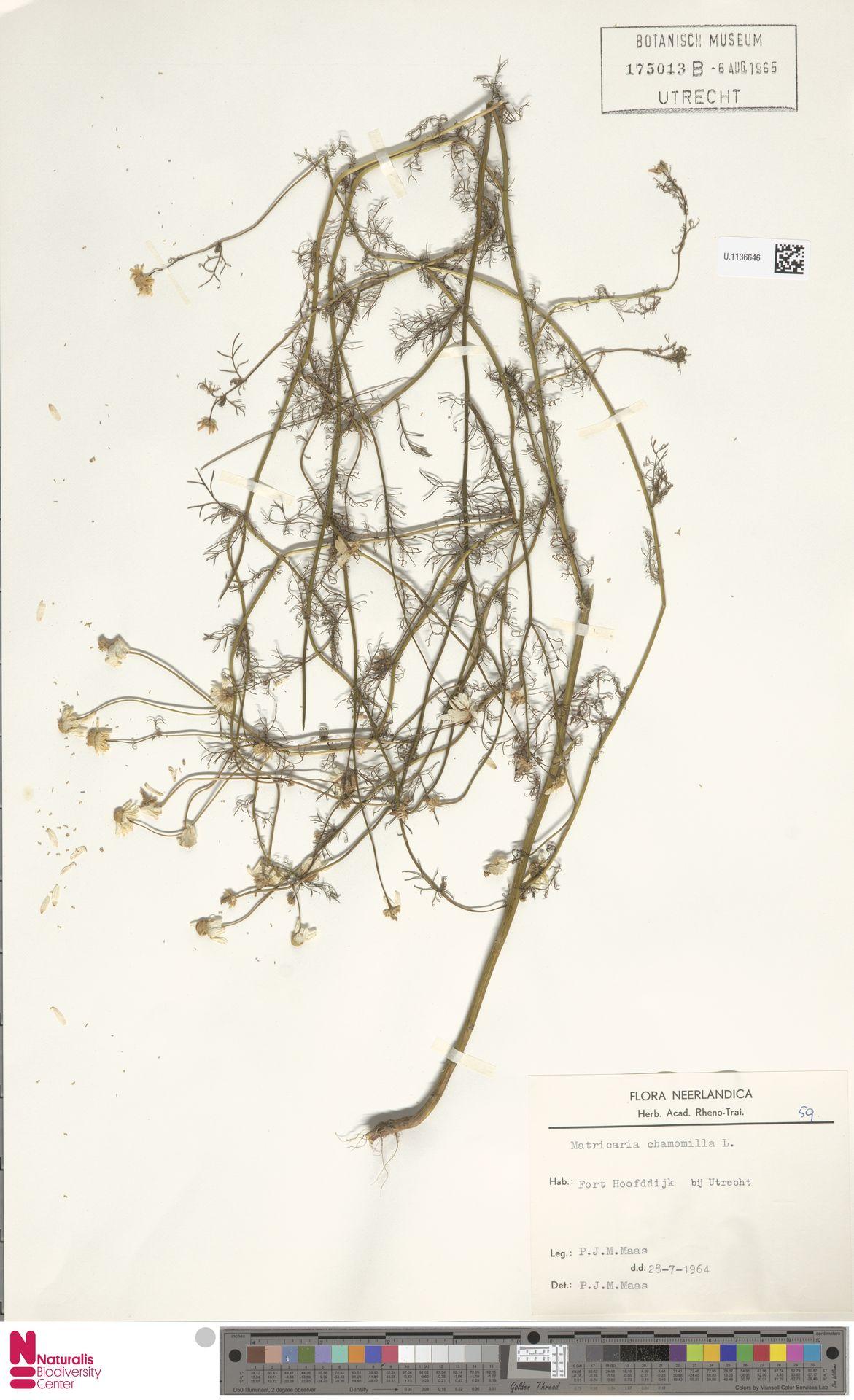 U.1136646   Matricaria chamomilla L.