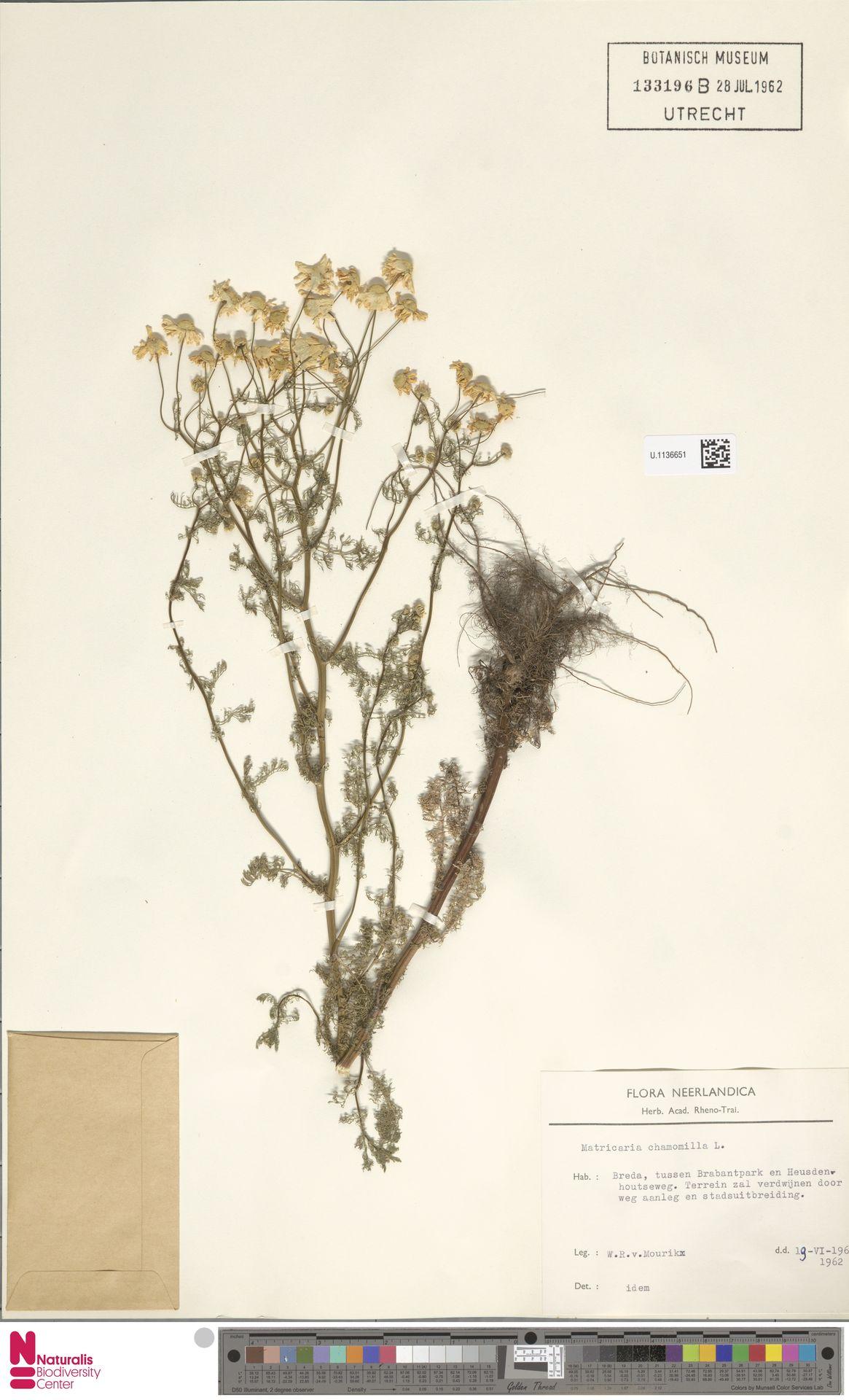 U.1136651 | Matricaria chamomilla L.