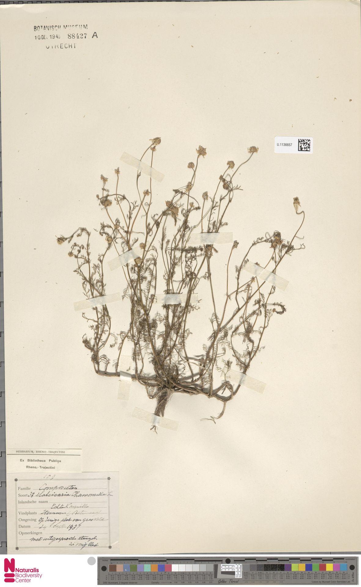 U.1136657 | Matricaria chamomilla L.