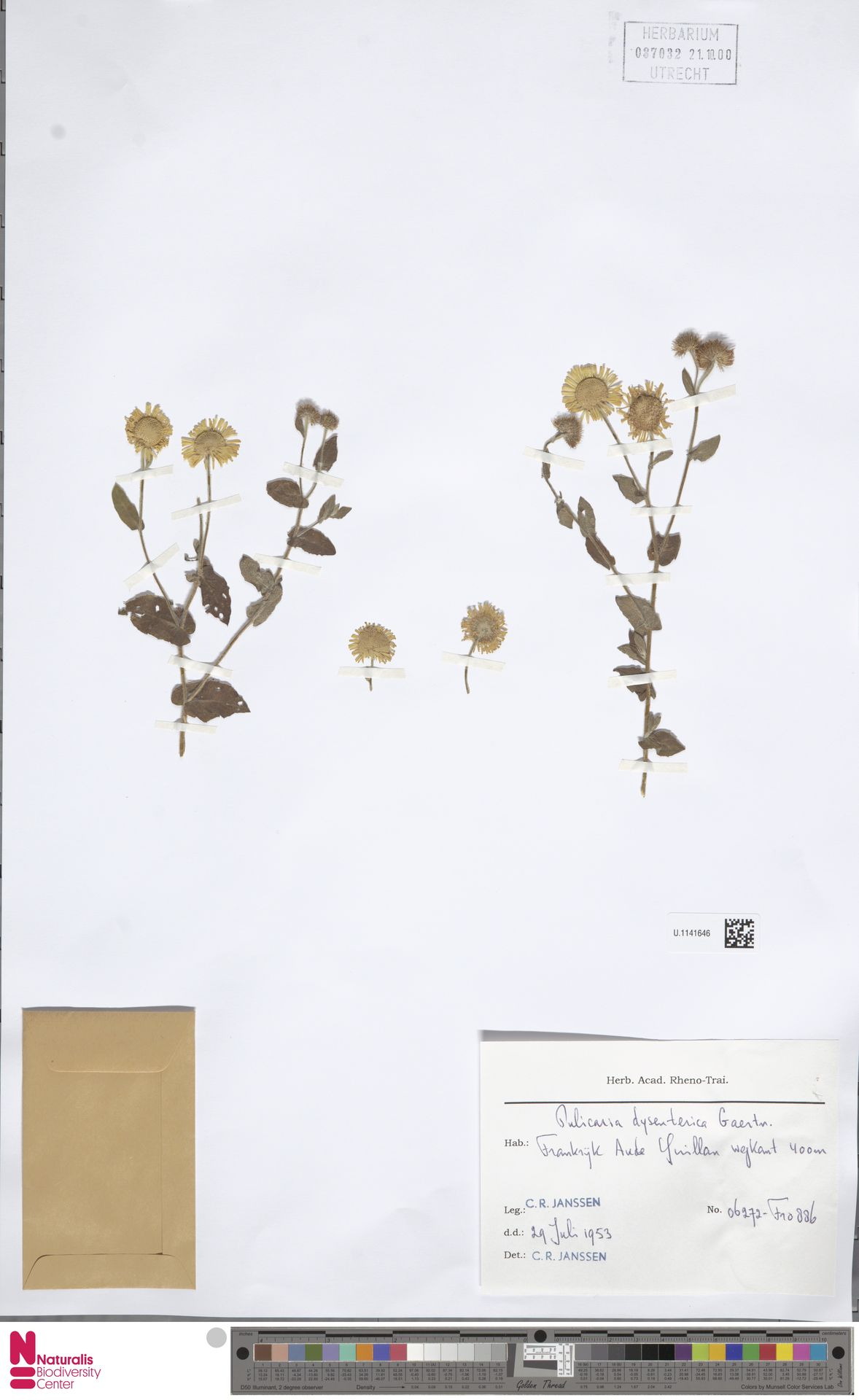 U.1141646   Pulicaria dysenterica (L.) Bernh.