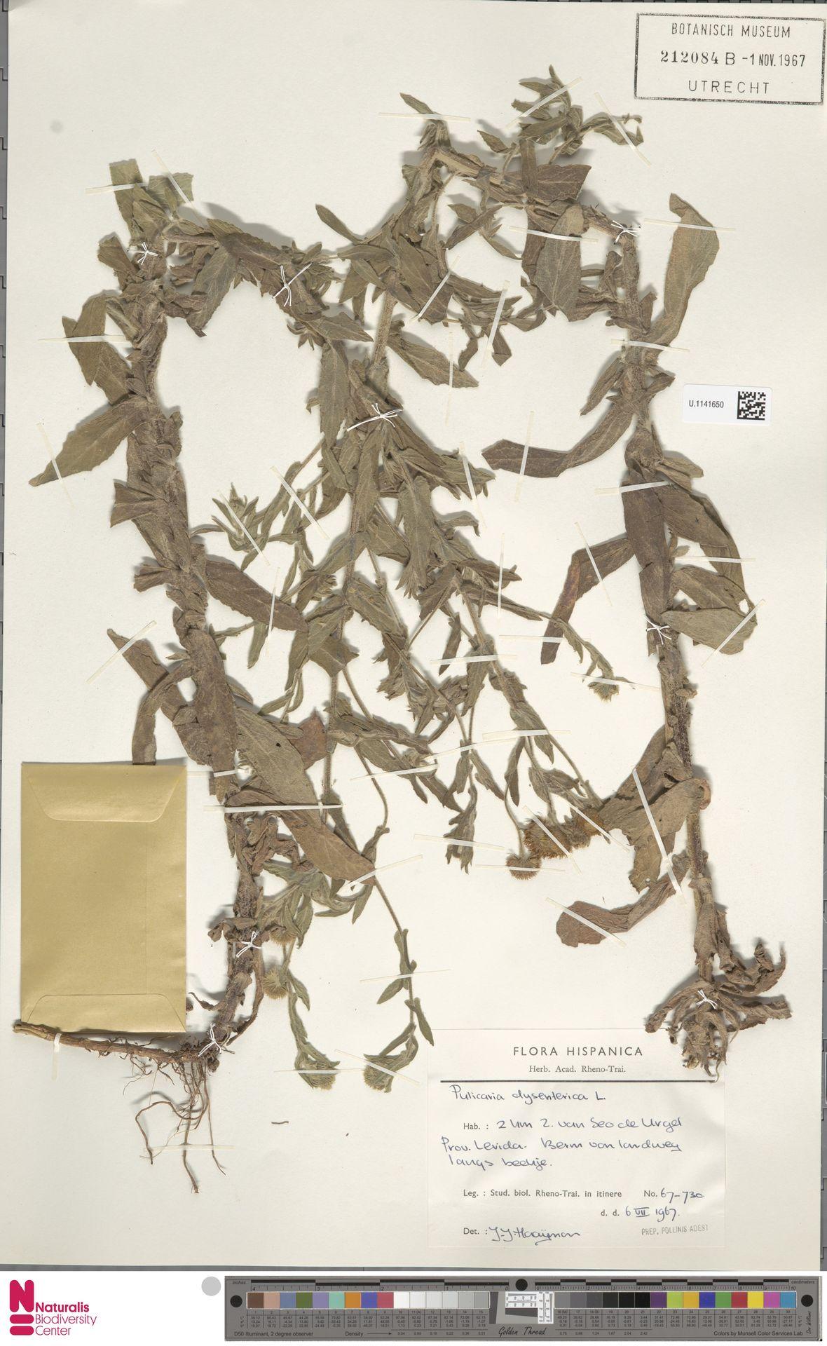 U.1141650 | Pulicaria dysenterica (L.) Bernh.