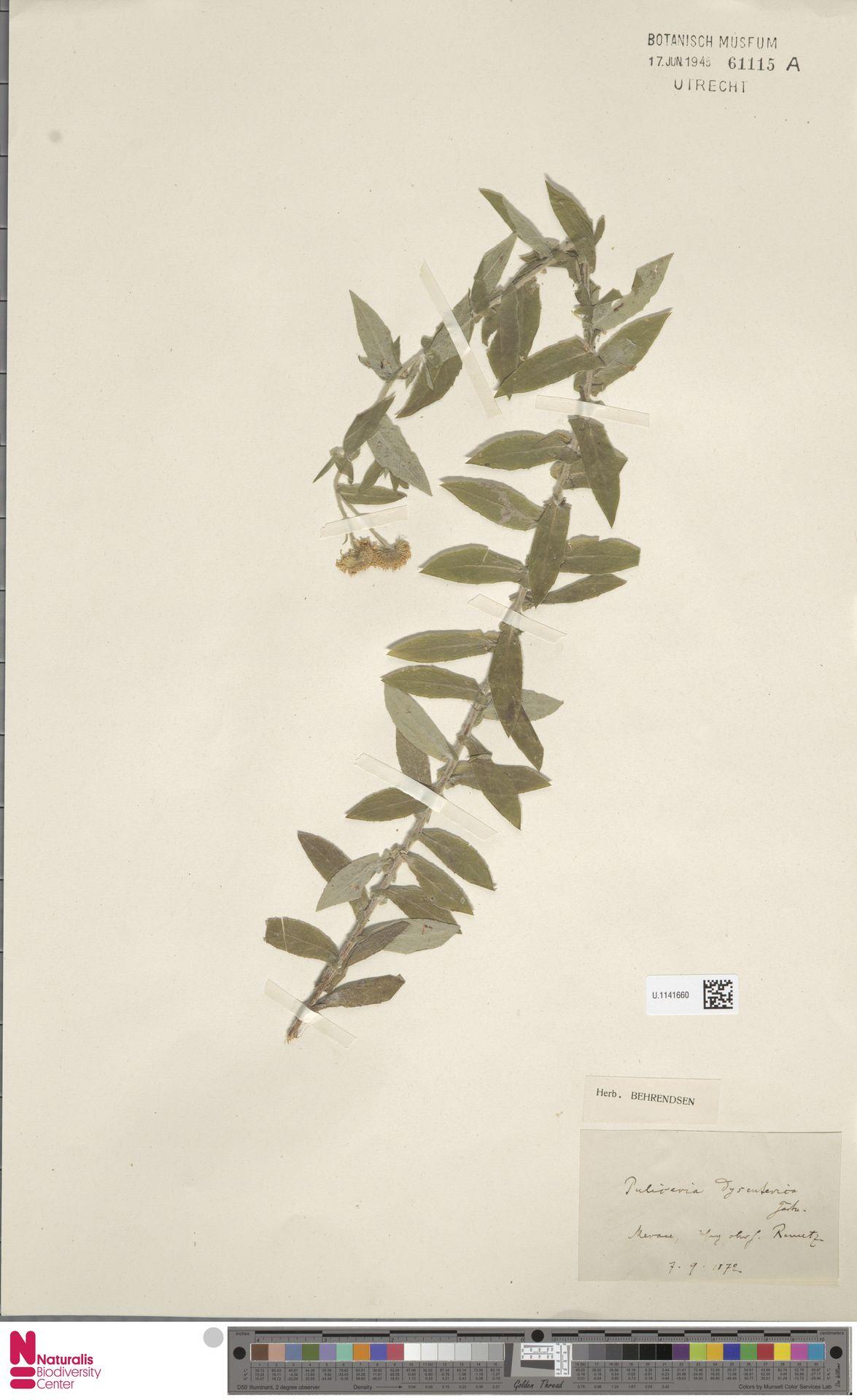 U.1141660 | Pulicaria dysenterica (L.) Bernh.