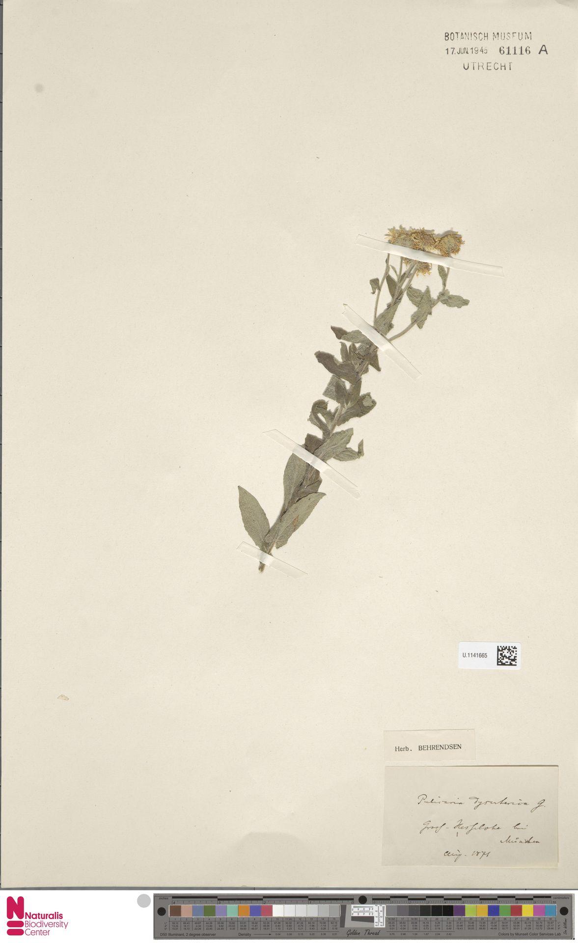 U.1141665 | Pulicaria dysenterica (L.) Bernh.