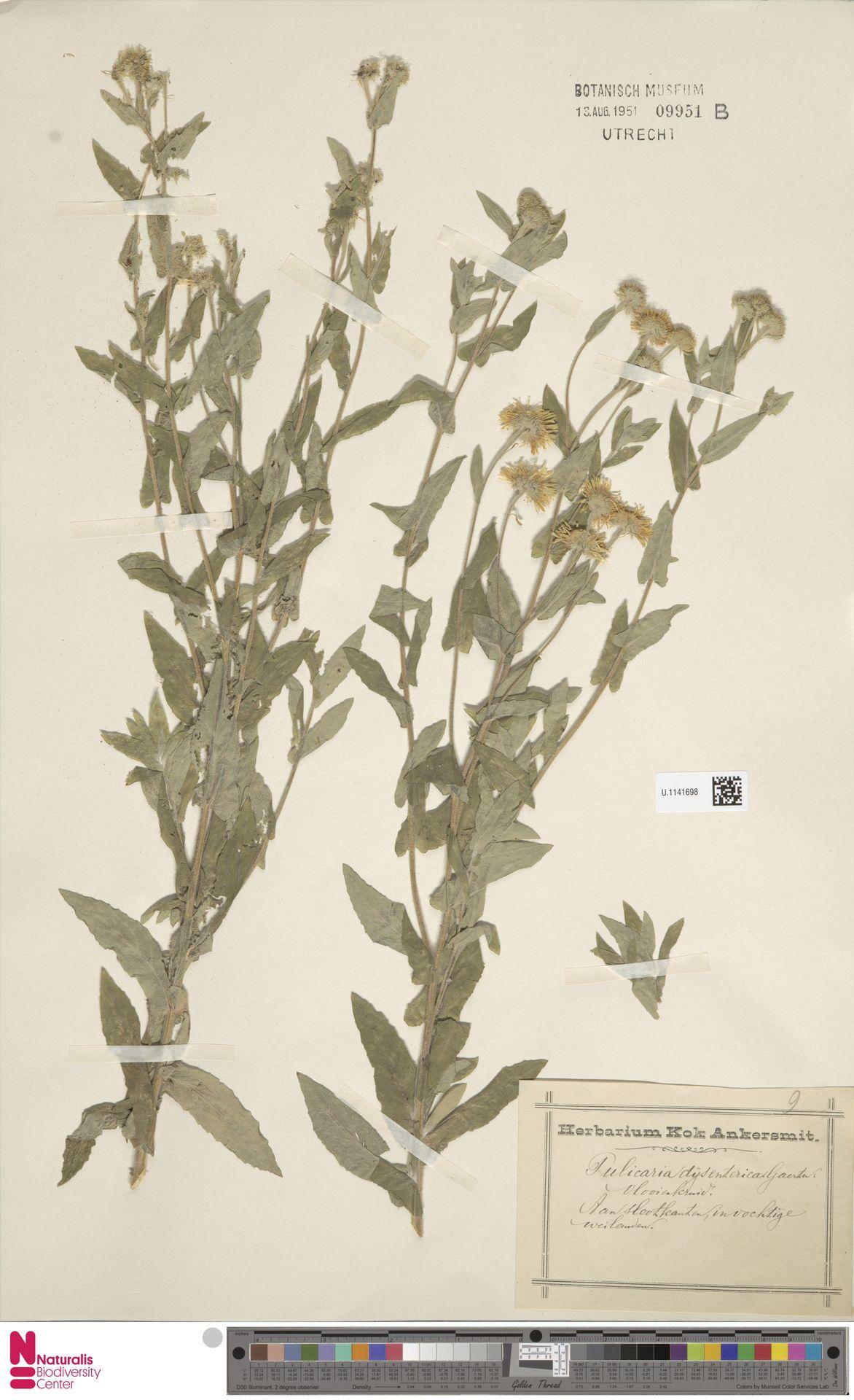 U.1141698 | Pulicaria dysenterica (L.) Bernh.