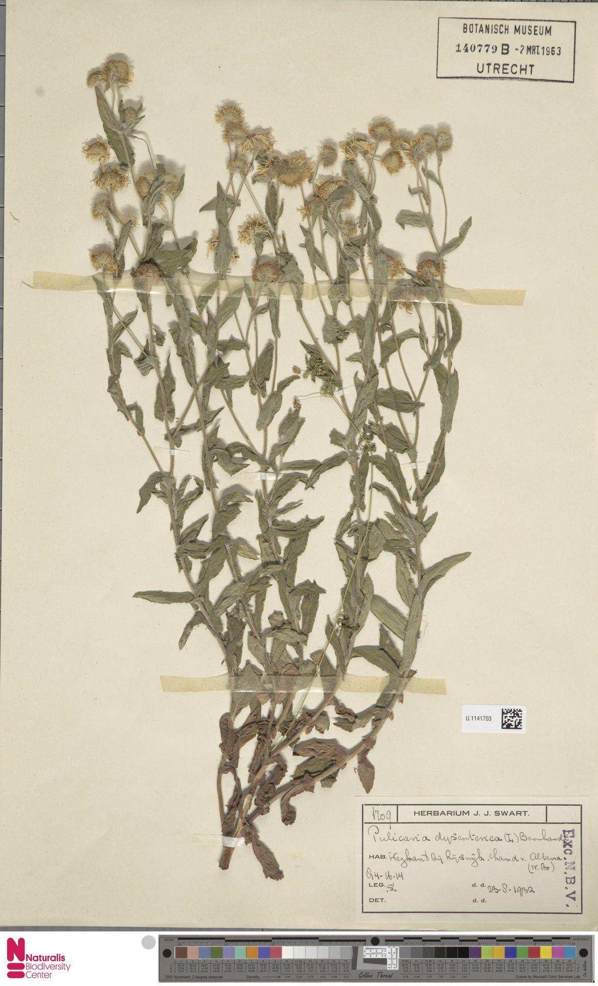 U.1141703   Pulicaria dysenterica (L.) Bernh.