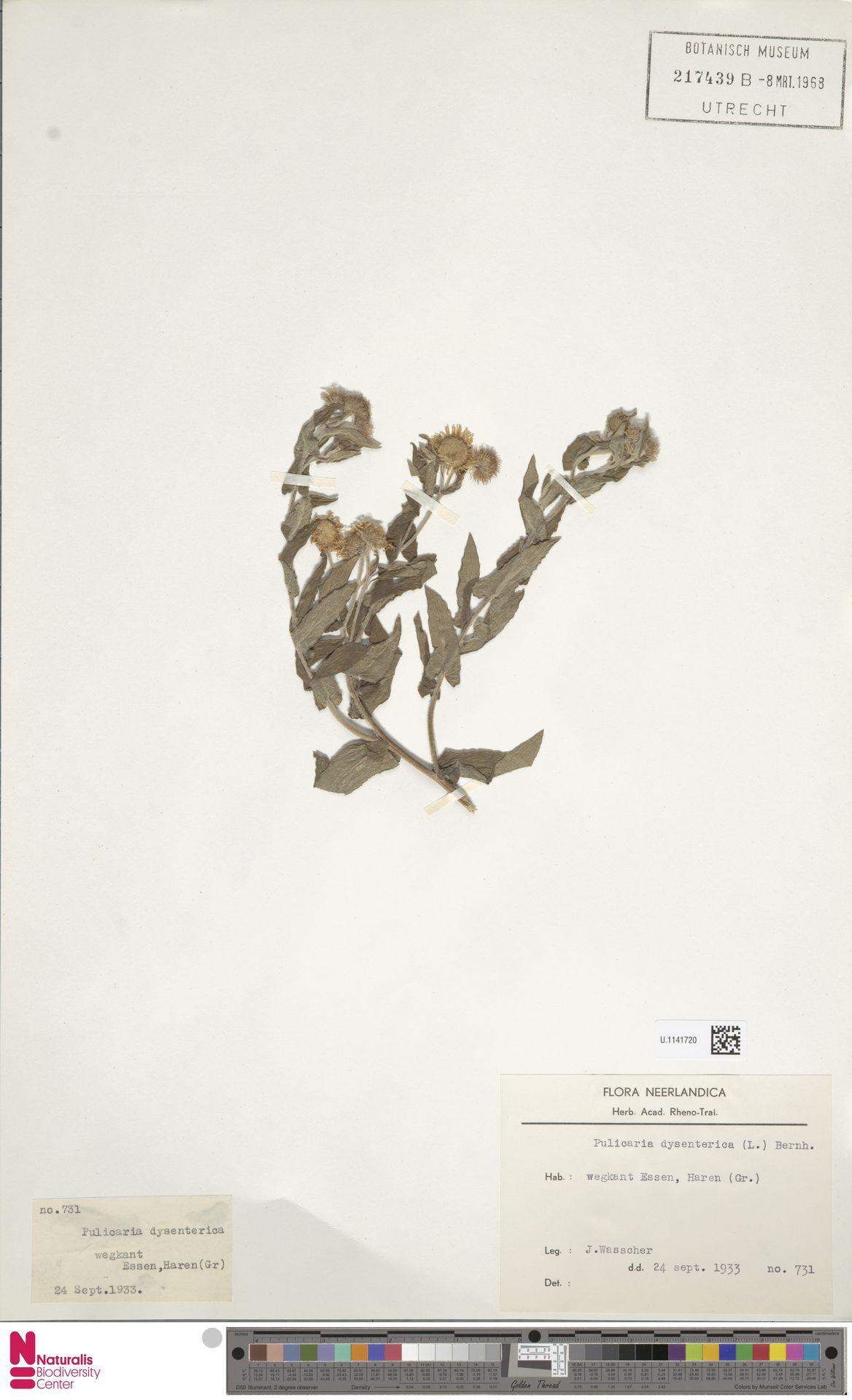 U.1141720 | Pulicaria dysenterica (L.) Bernh.