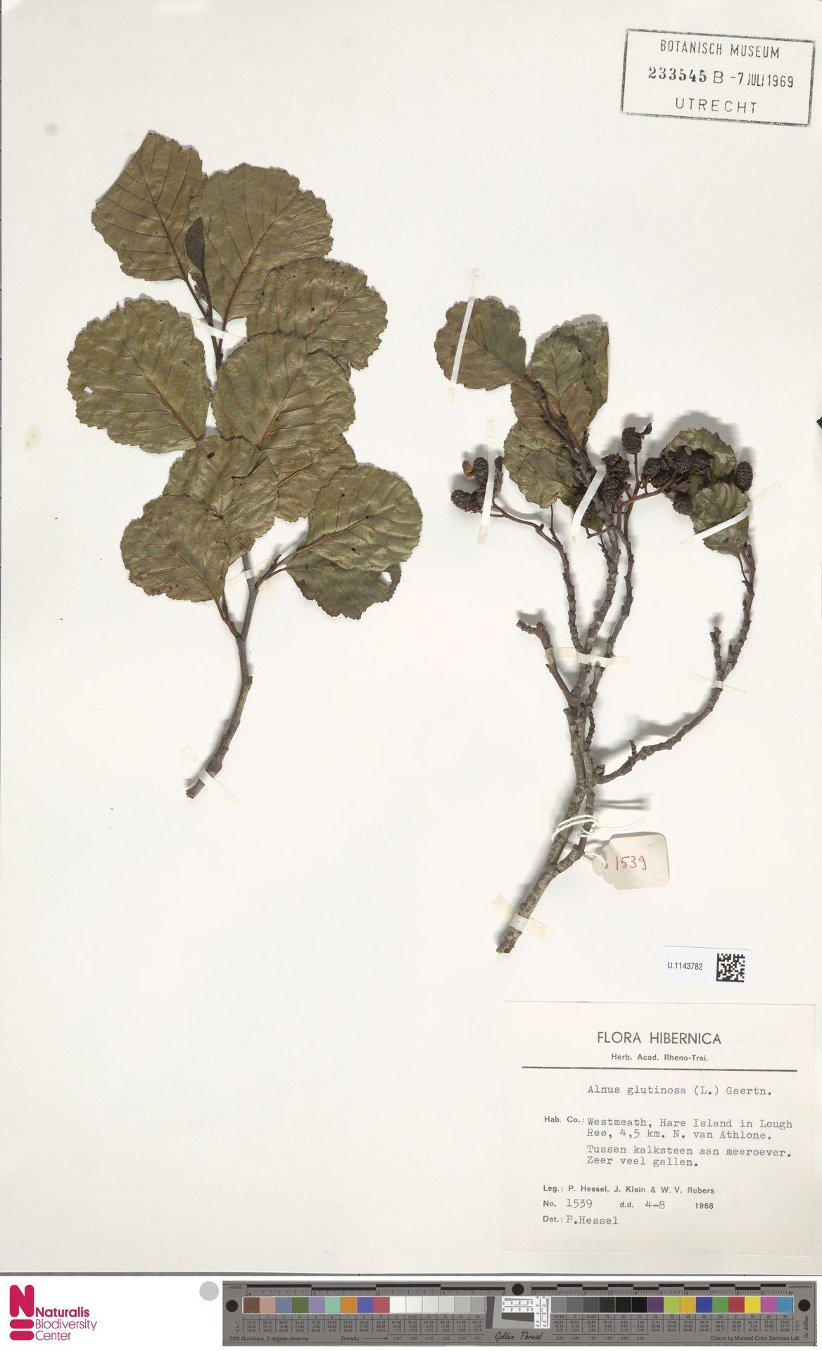 U.1143782   Alnus glutinosa (L.) Gaertn.