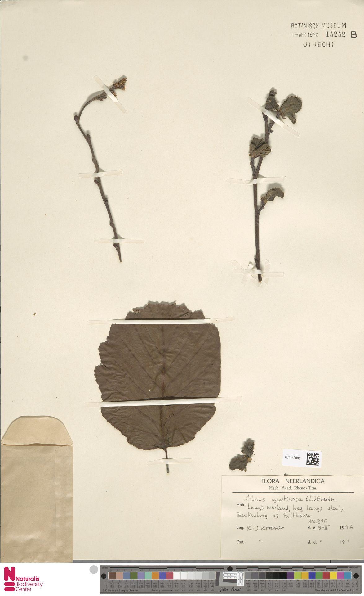 U.1143809 | Alnus glutinosa (L.) Gaertn.
