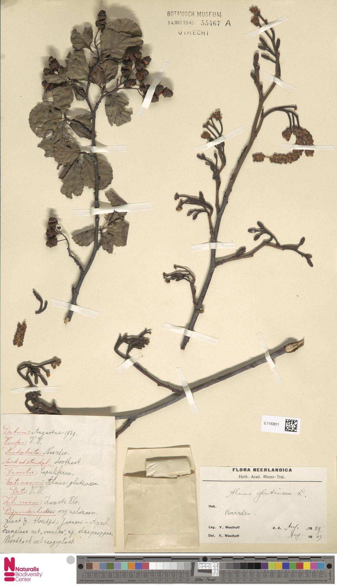 U.1143811 | Alnus glutinosa (L.) Gaertn.