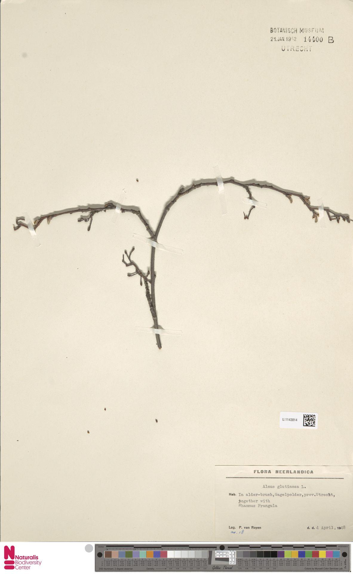 U.1143814 | Alnus glutinosa (L.) Gaertn.