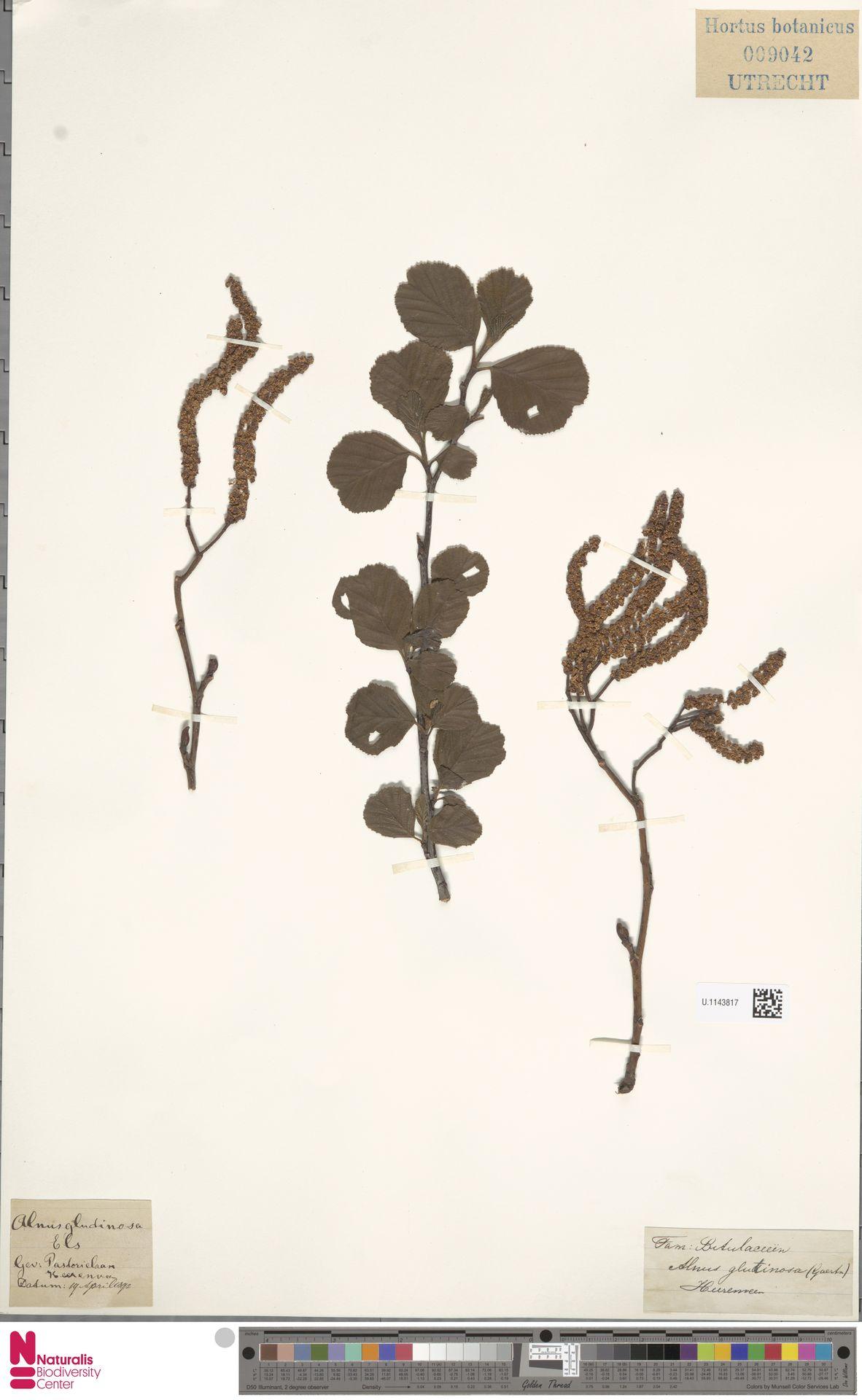 U.1143817 | Alnus glutinosa (L.) Gaertn.