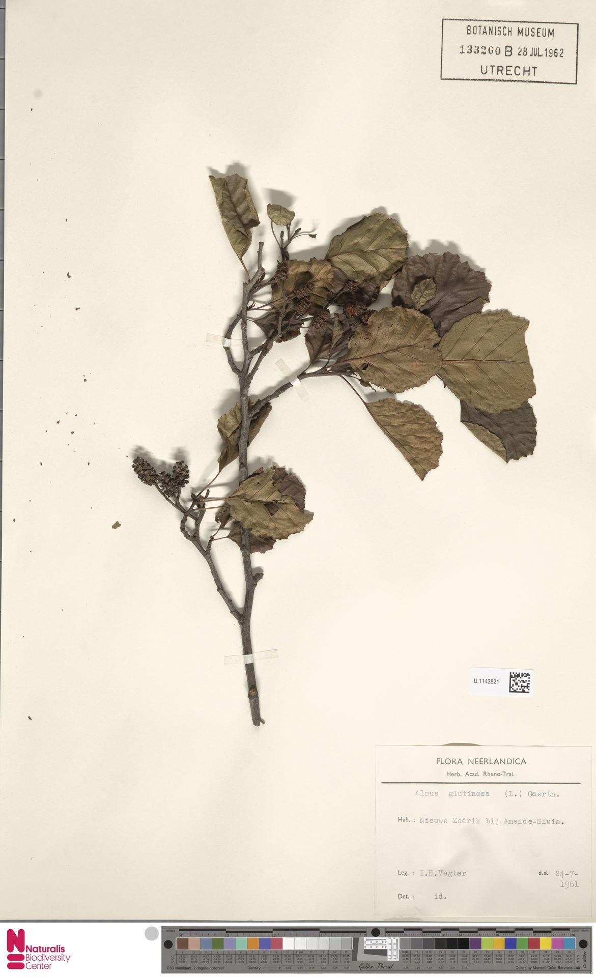 U.1143821 | Alnus glutinosa (L.) Gaertn.
