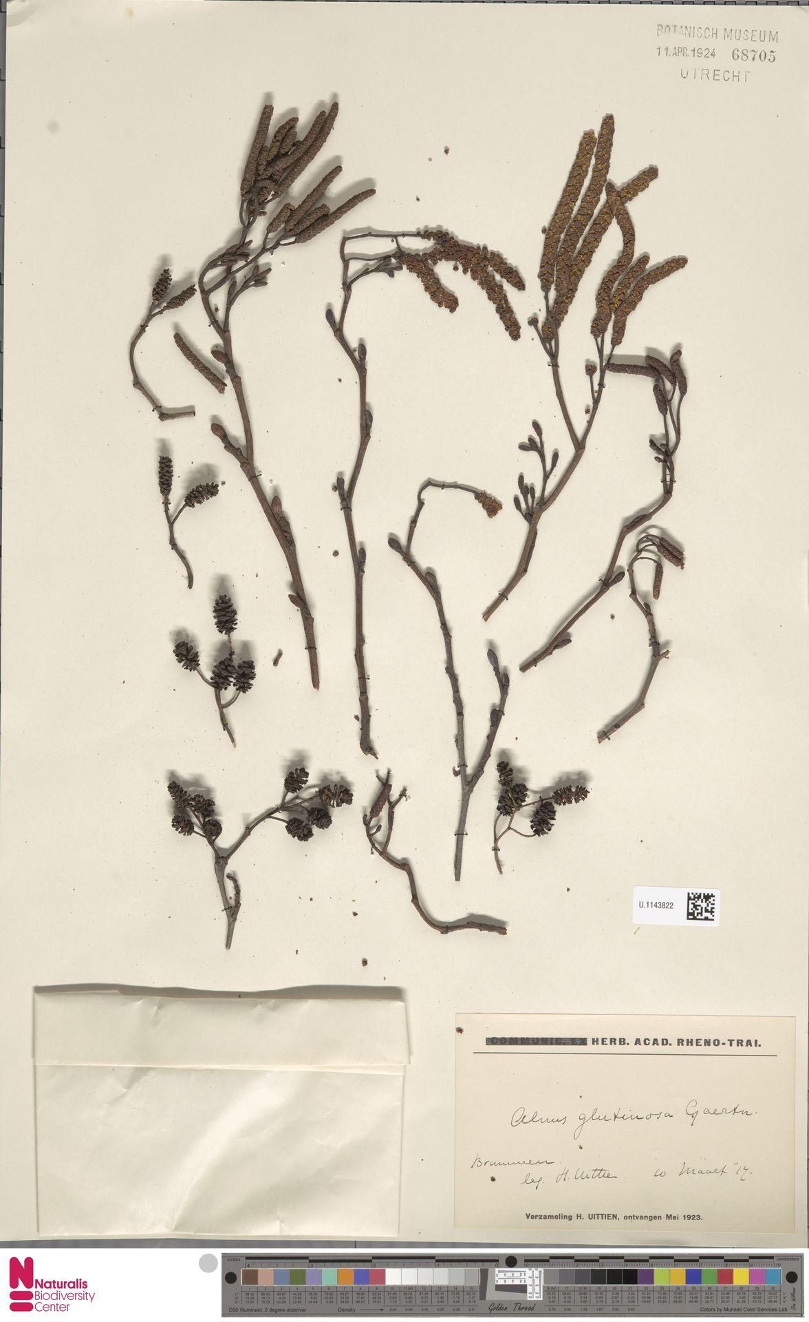 U.1143822 | Alnus glutinosa (L.) Gaertn.