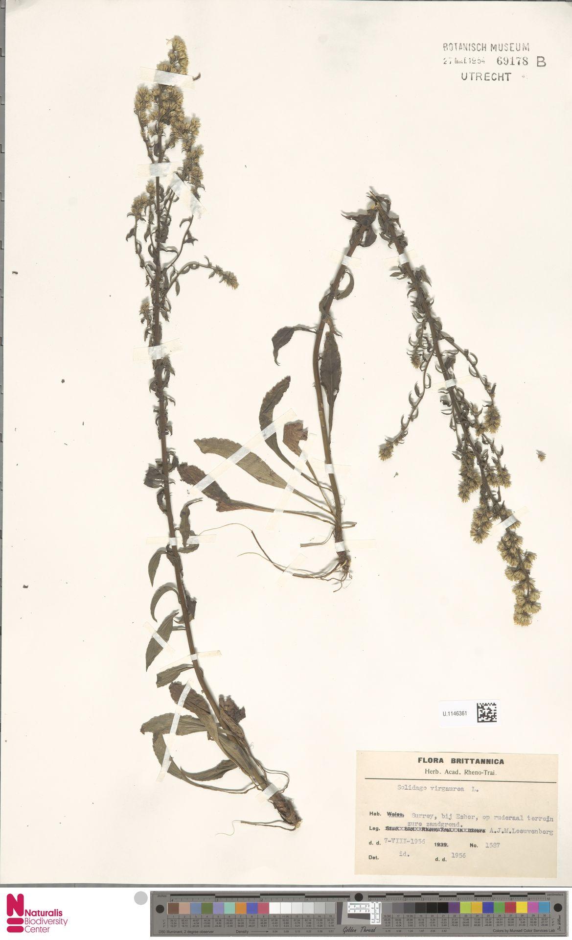U.1146361 | Solidago virgaurea L.