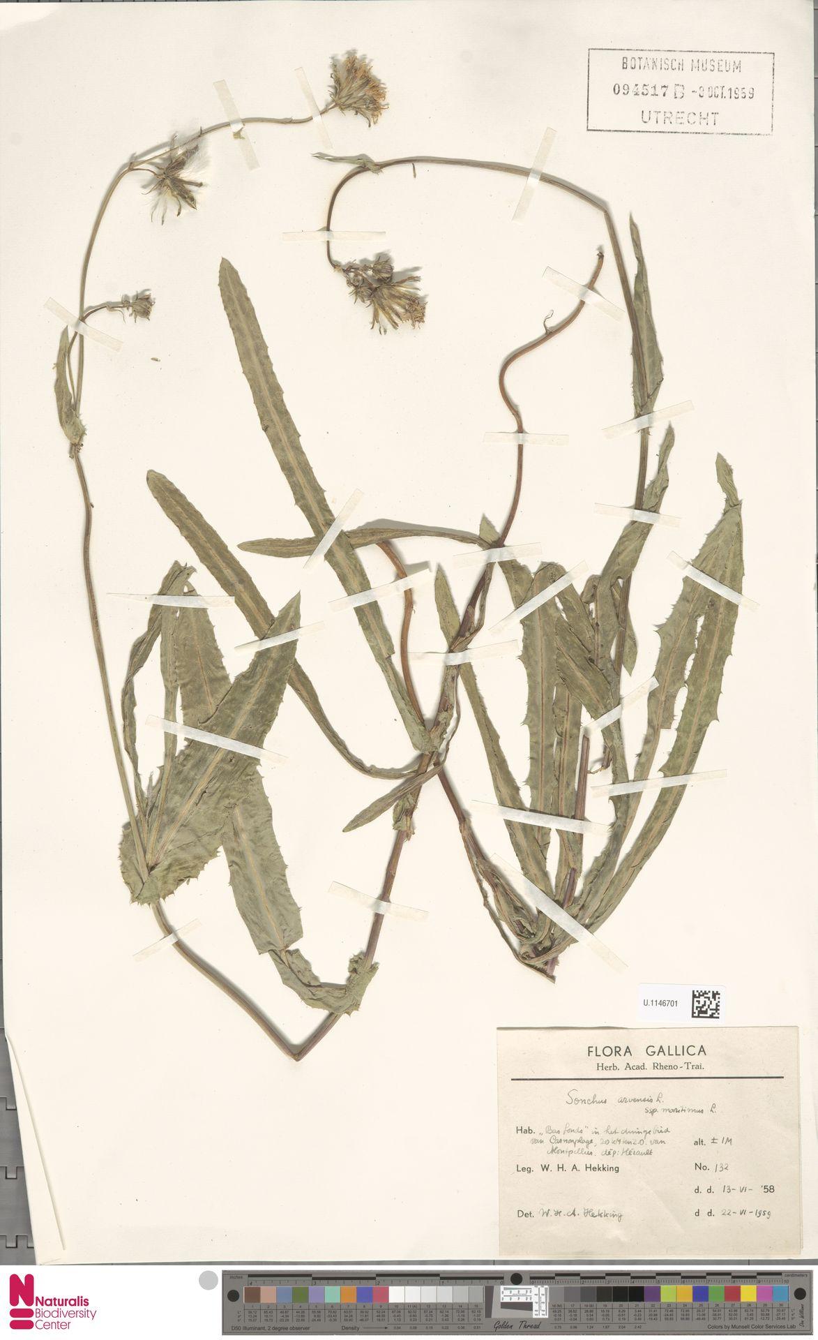 U.1146701 | Sonchus arvensis subsp. maritimus