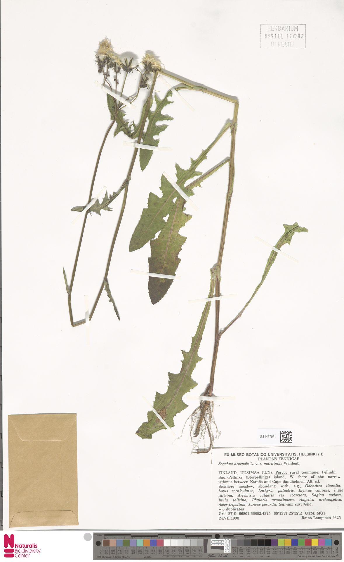 U.1146705 | Sonchus arvensis var. maritimus G.Mey.