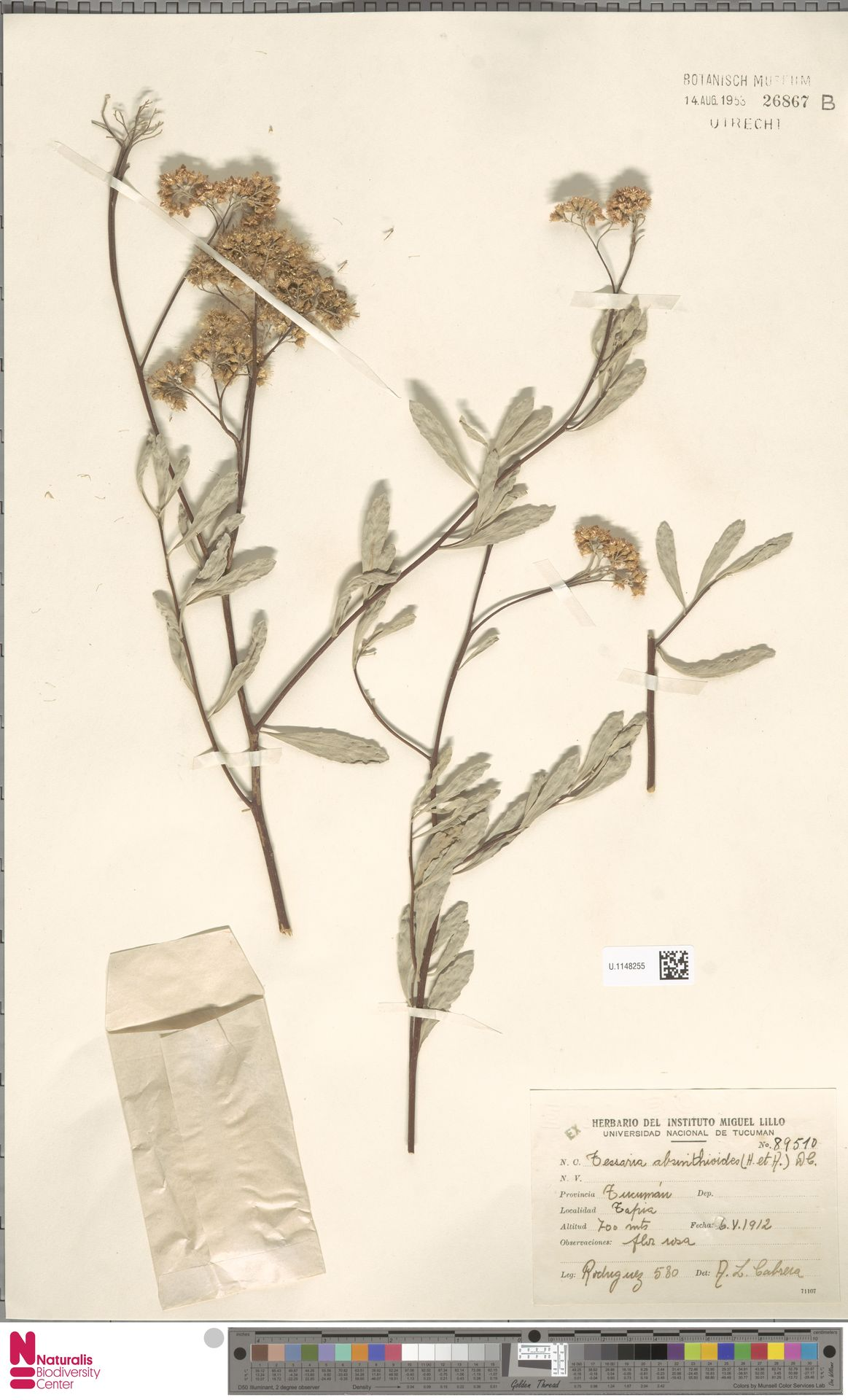 U.1148255 | Tessaria absinthioides (Hook. & Arn.) DC.