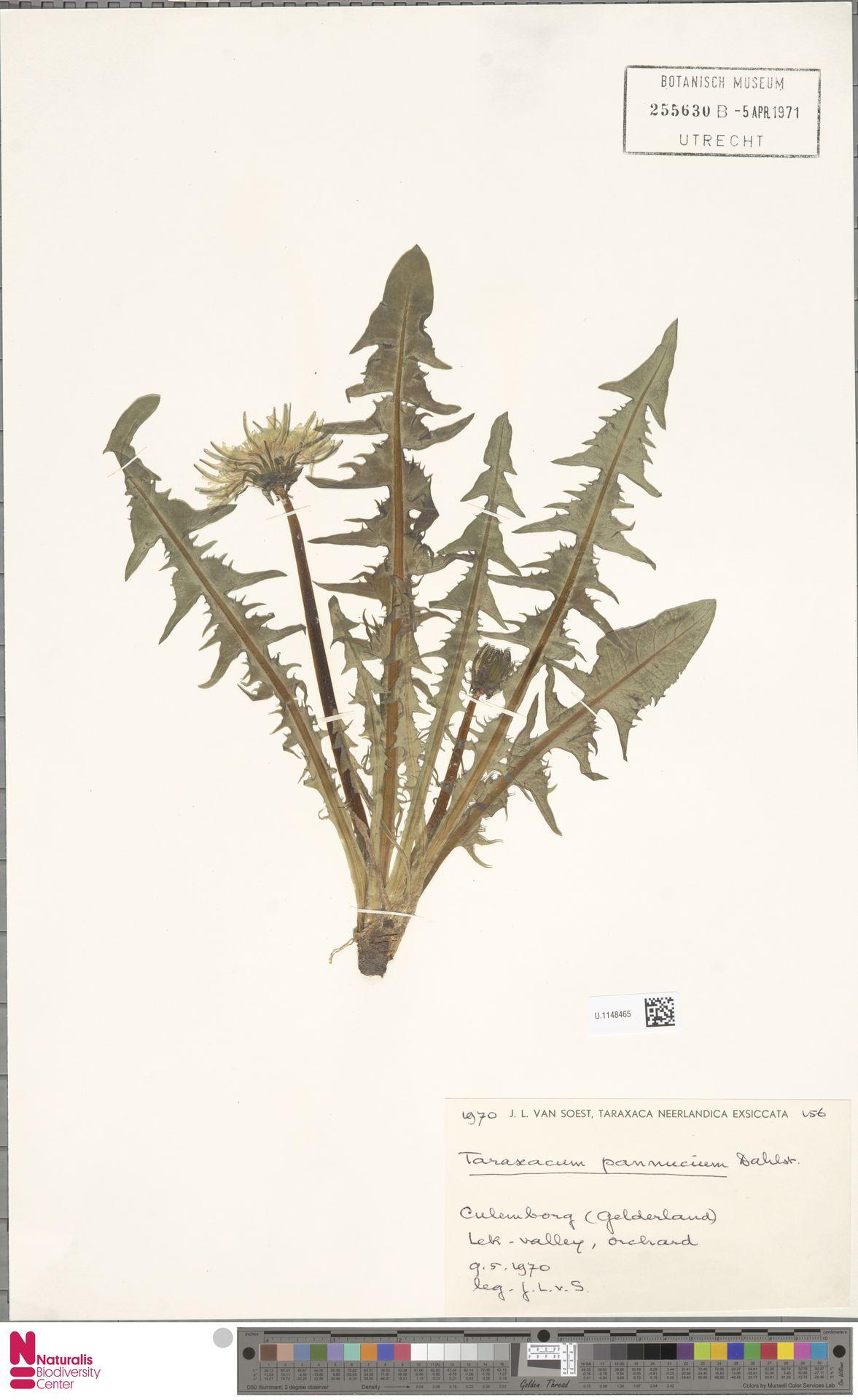 U.1148465   Taraxacum pannucium Dahlst.