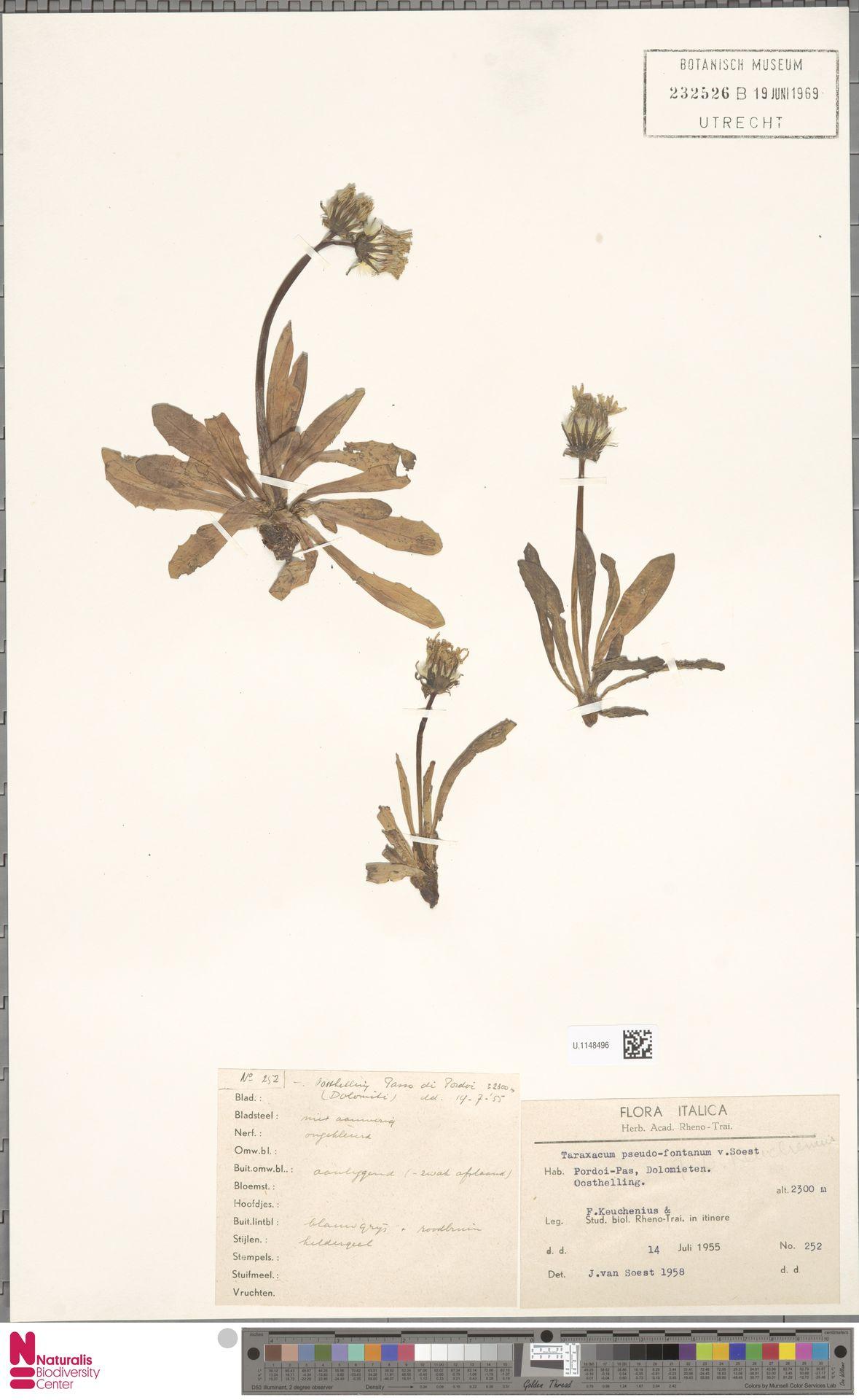 U.1148496 | Taraxacum pseudofontanum Soest