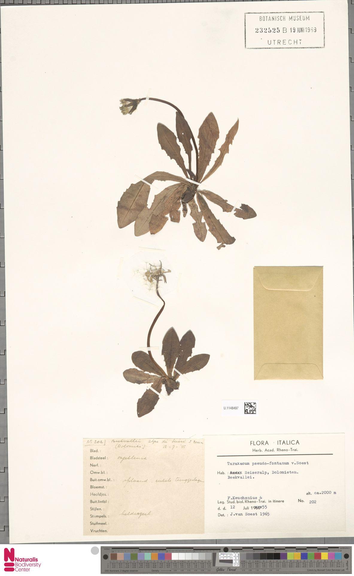 U.1148497   Taraxacum pseudofontanum Soest