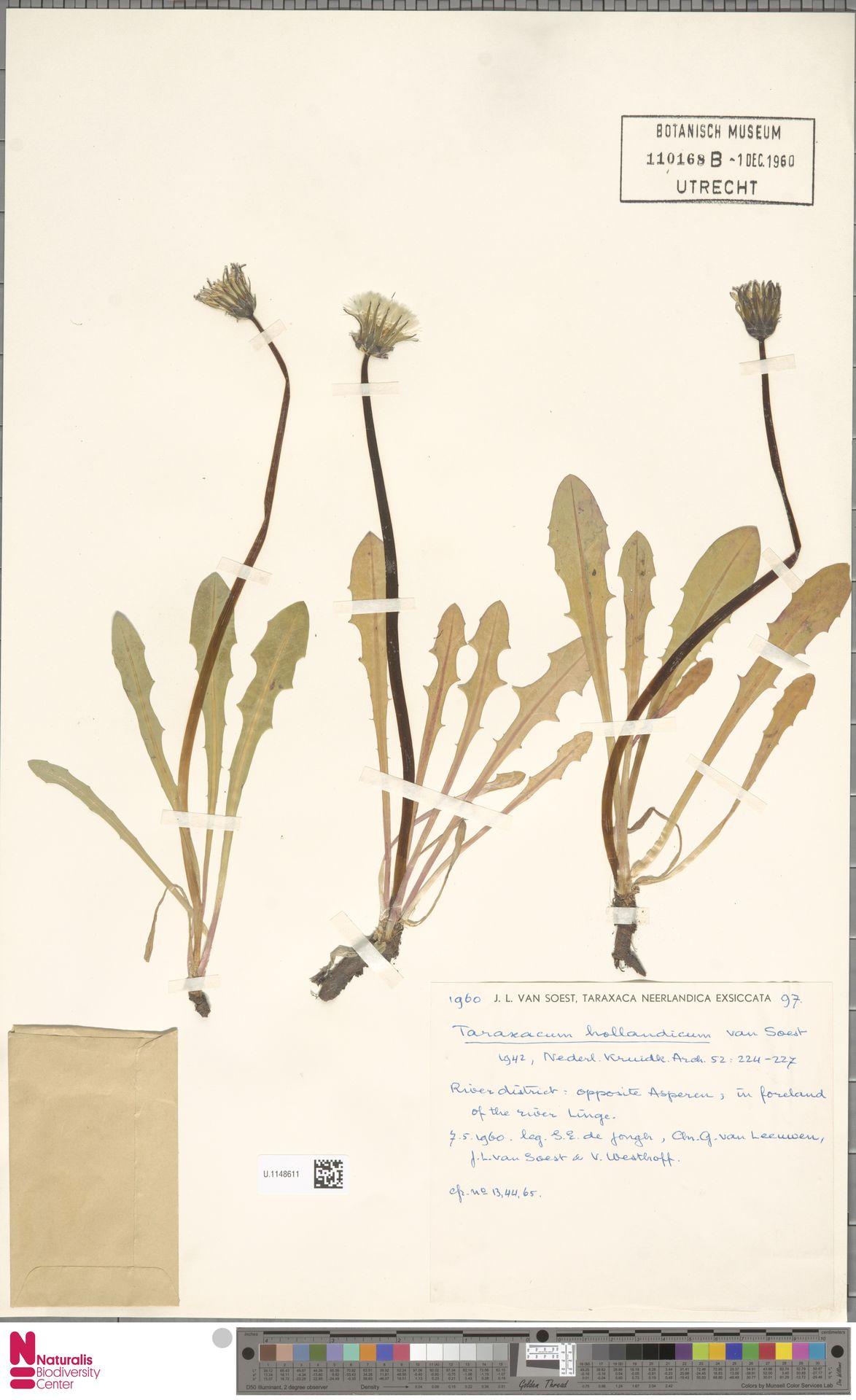 U.1148611   Taraxacum hollandicum Soest