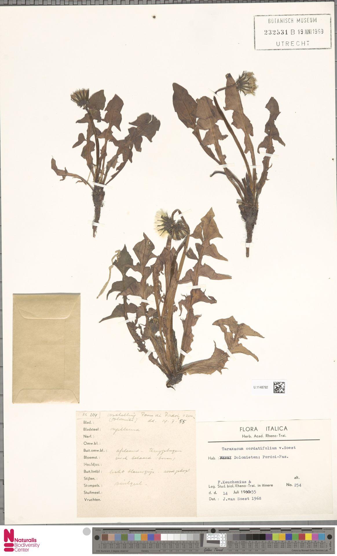 U.1148792   Taraxacum cordatifolium Soest