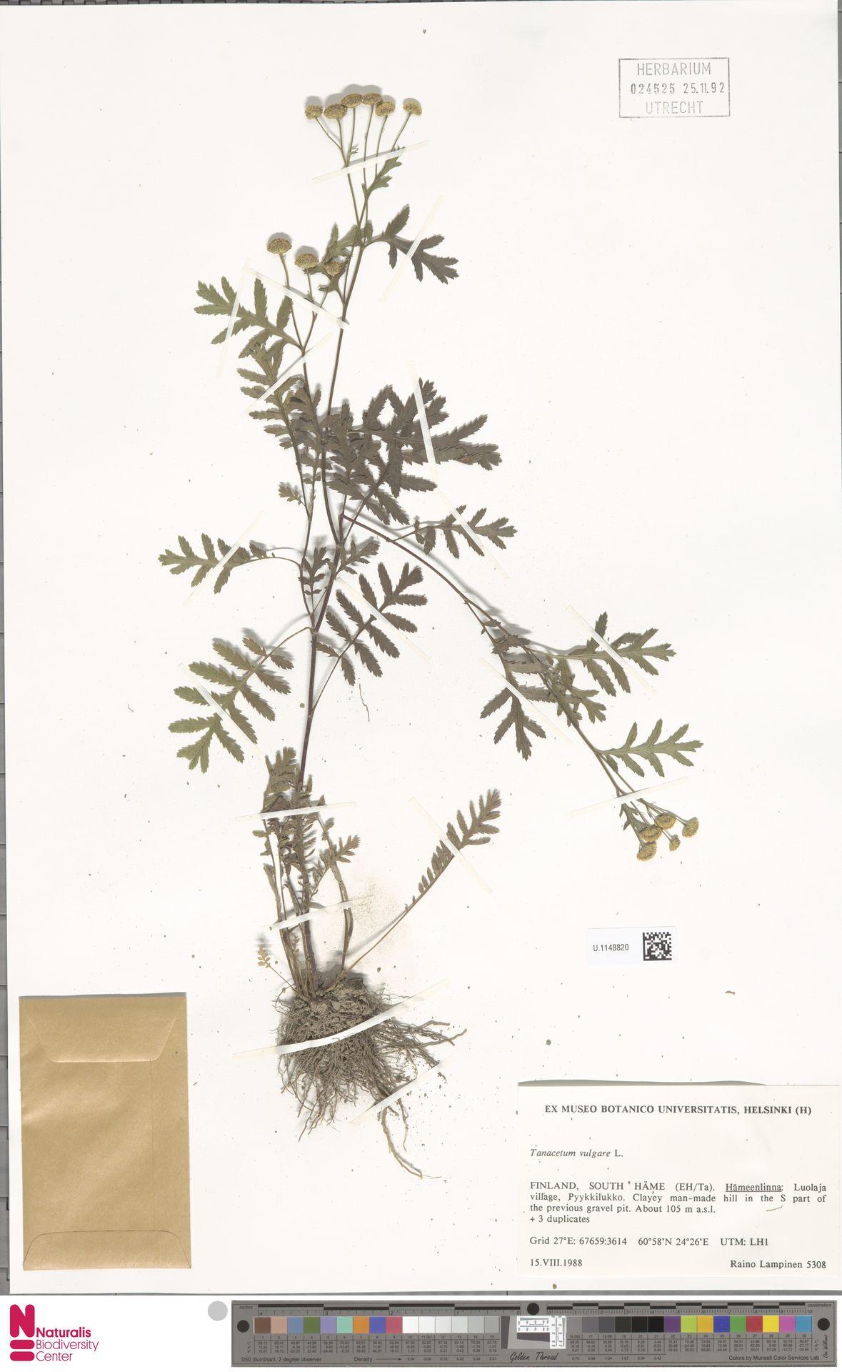 U.1148820 | Tanacetum vulgare L.