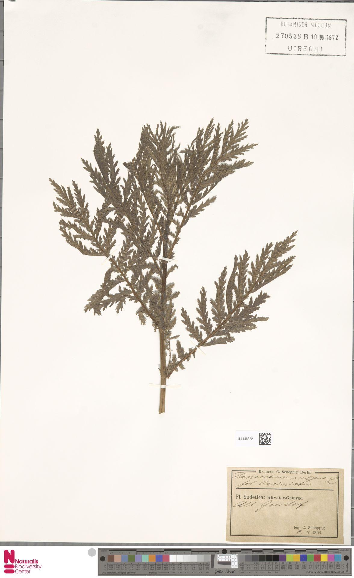 U.1148822 | Tanacetum vulgare L.