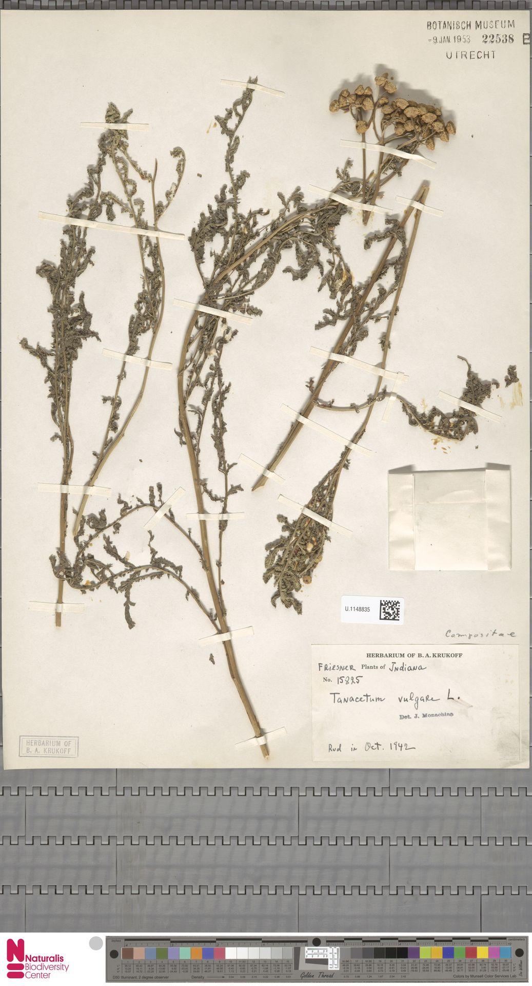 U.1148835 | Tanacetum vulgare L.