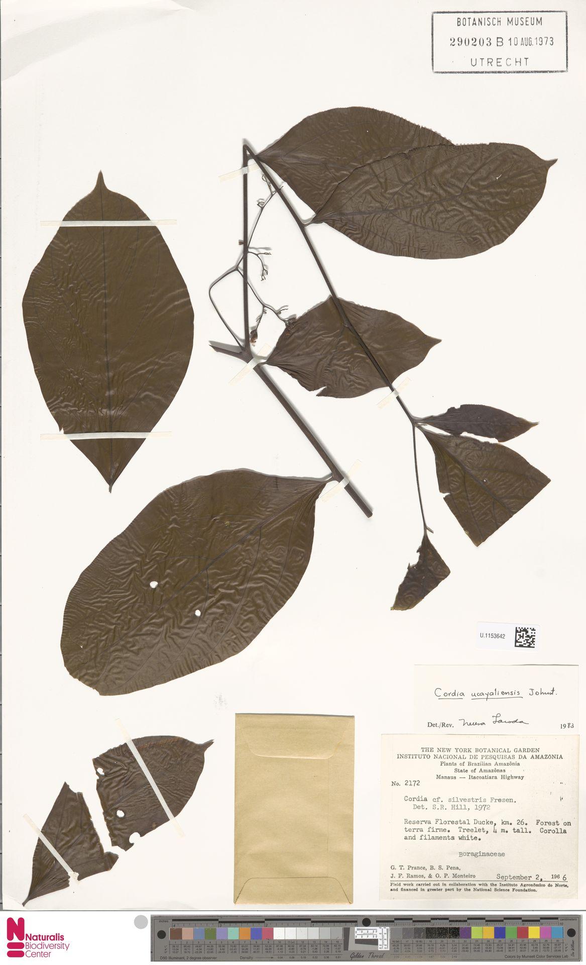 U.1153642 | Cordia ucayaliensis I.M.Johnst.