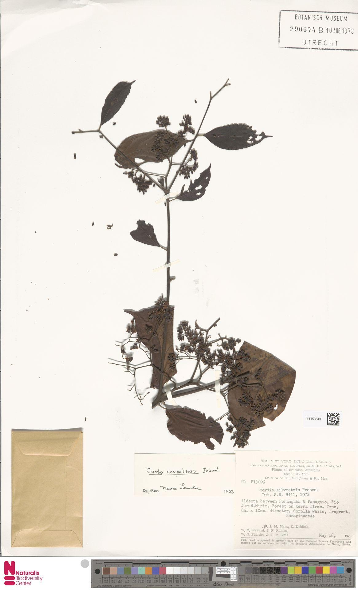 U.1153643 | Cordia ucayaliensis I.M.Johnst.