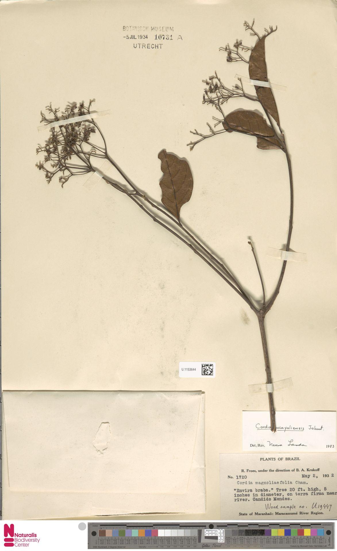 U.1153644 | Cordia ucayaliensis I.M.Johnst.