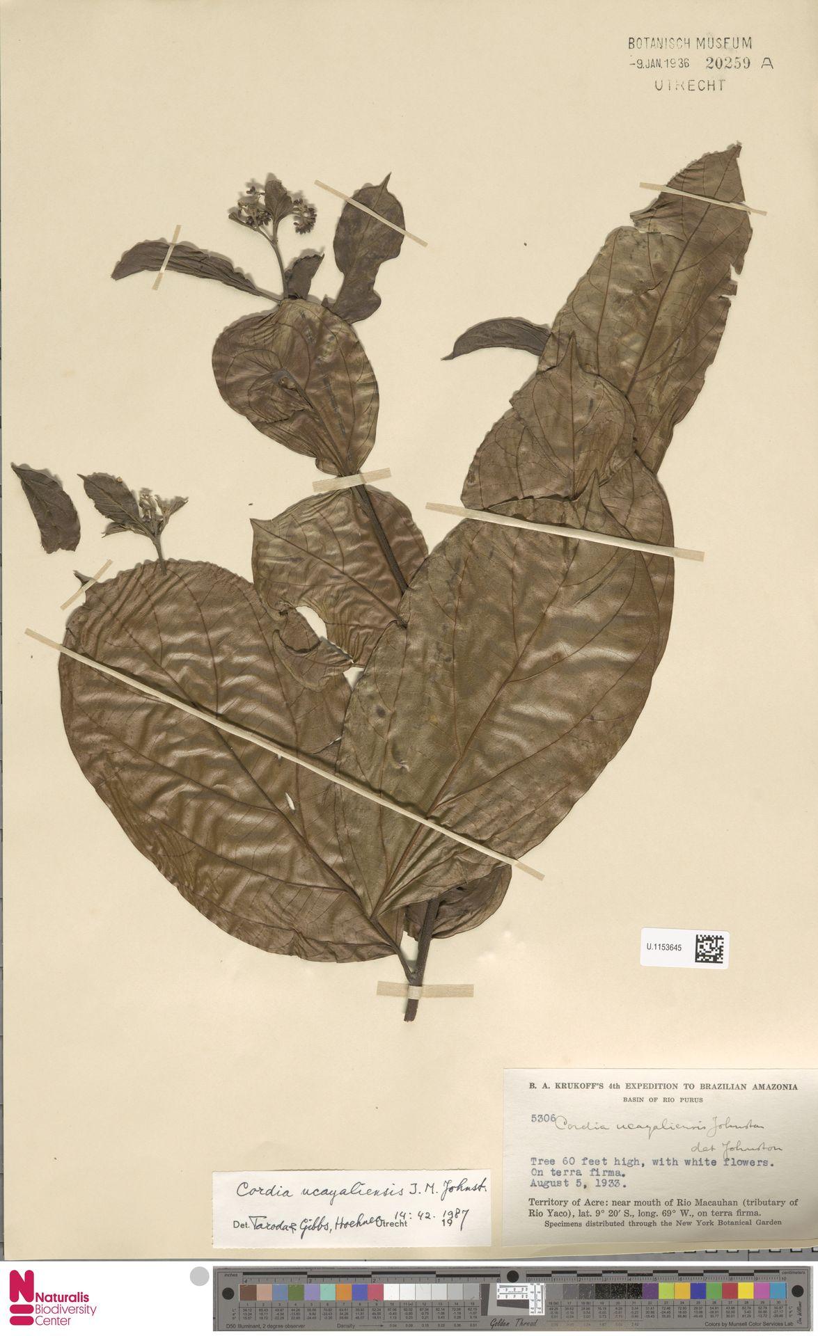 U.1153645 | Cordia ucayaliensis I.M.Johnst.