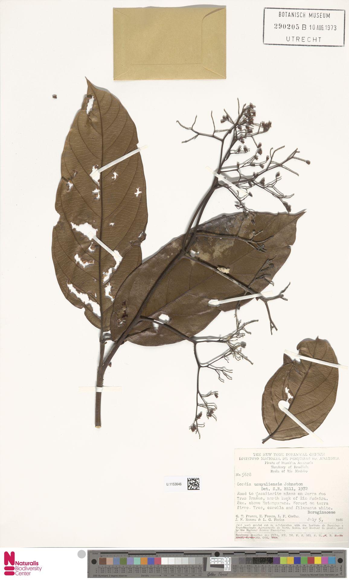 U.1153646 | Cordia ucayaliensis I.M.Johnst.