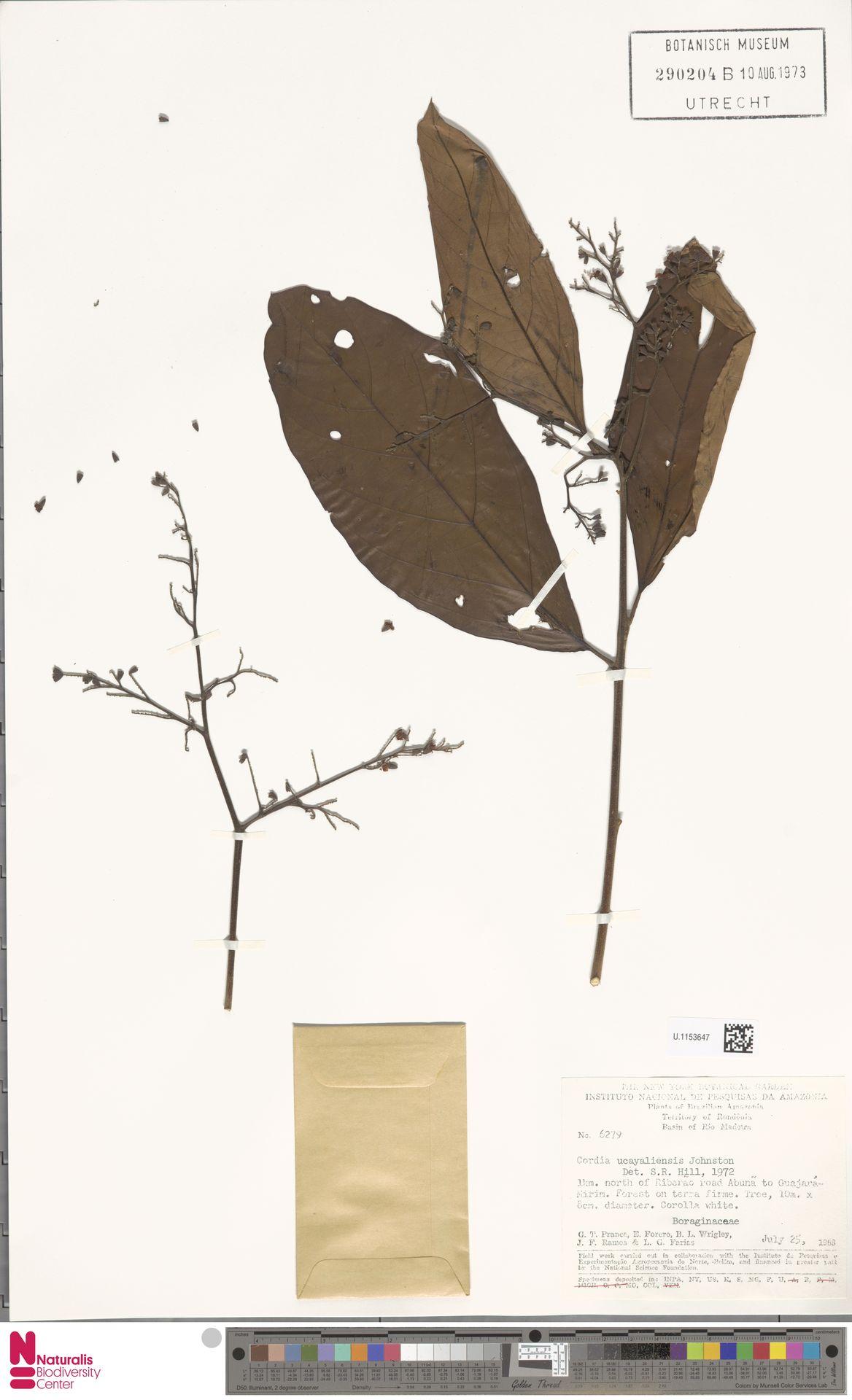 U.1153647   Cordia ucayaliensis I.M.Johnst.