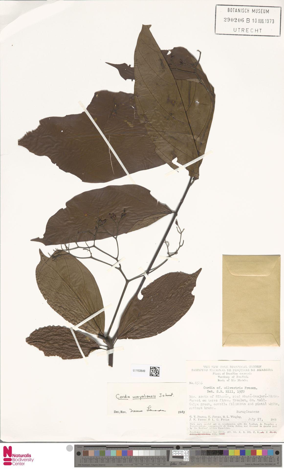 U.1153649 | Cordia ucayaliensis I.M.Johnst.