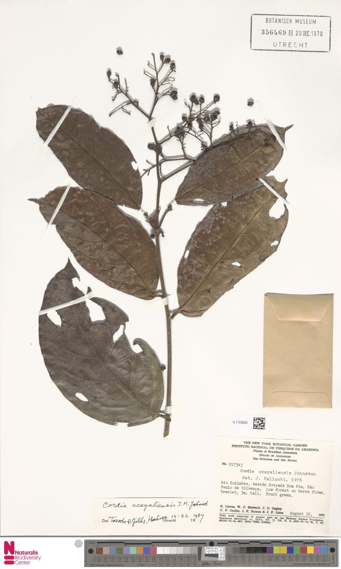 U.1153650 | Cordia ucayaliensis I.M.Johnst.
