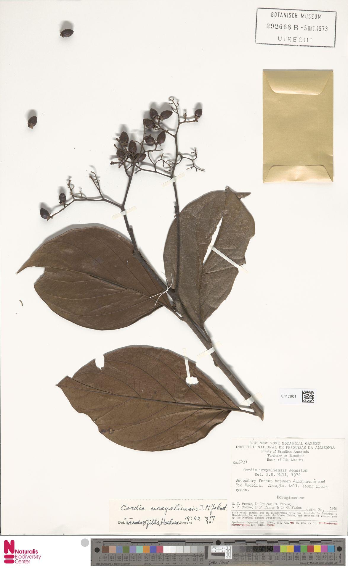 U.1153651 | Cordia ucayaliensis I.M.Johnst.