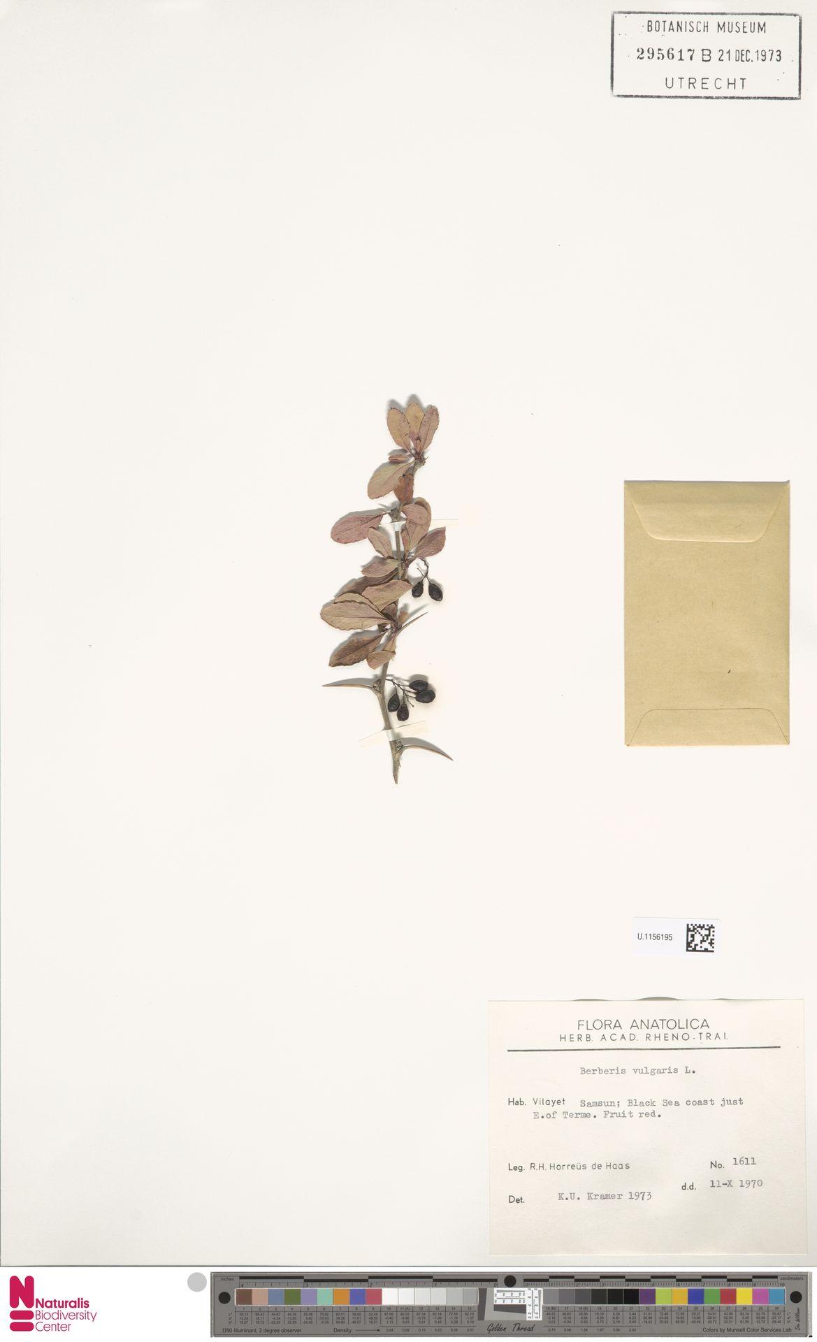 U.1156195 | Berberis vulgaris L.
