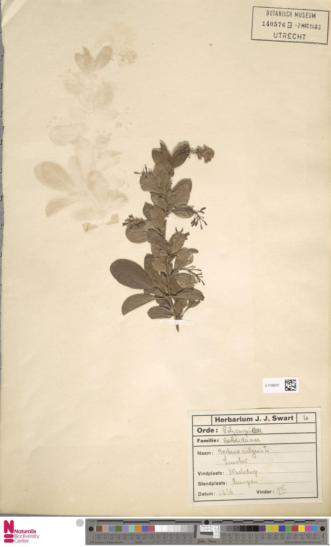 U.1156247 | Berberis vulgaris L.