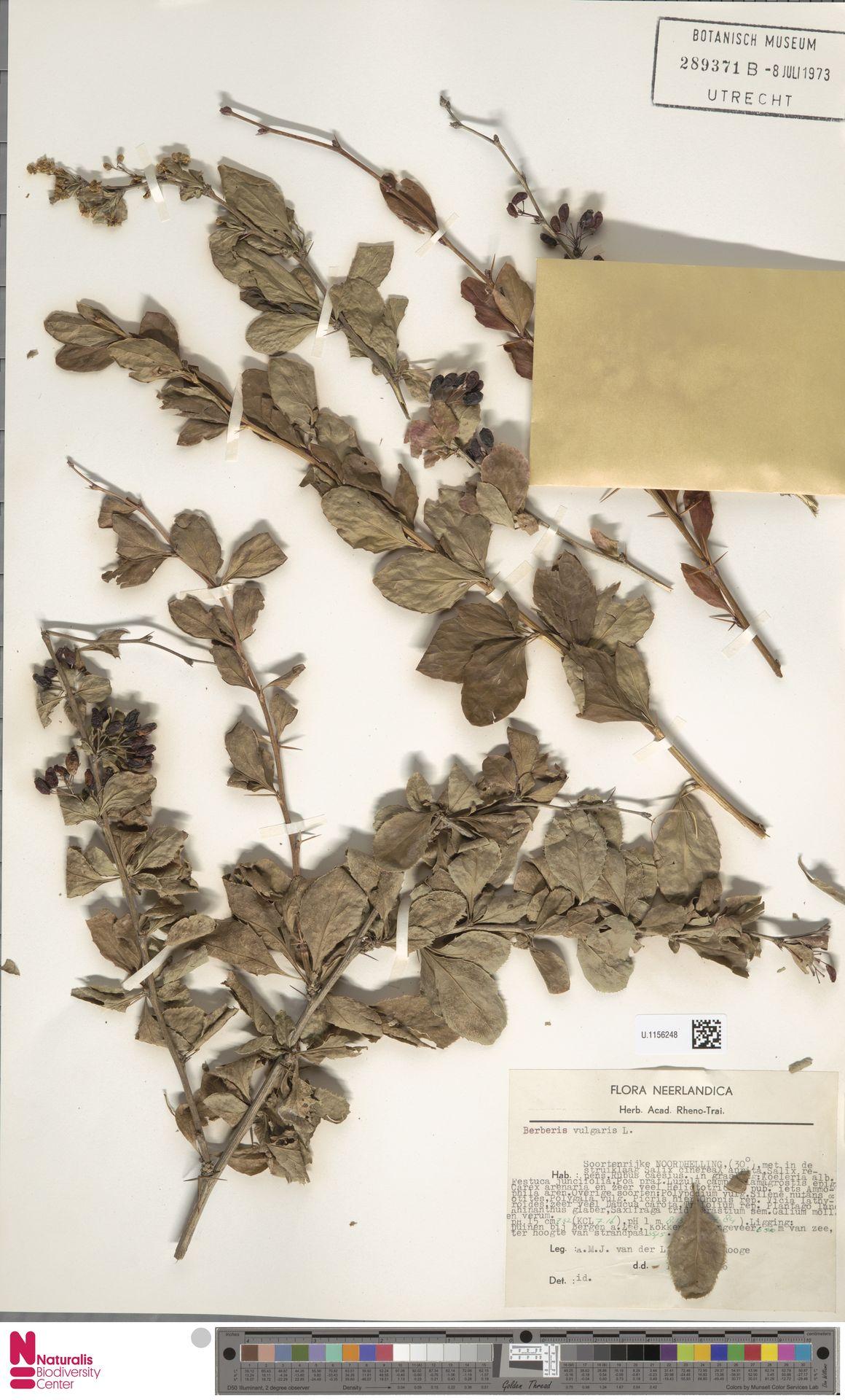 U.1156248 | Berberis vulgaris L.