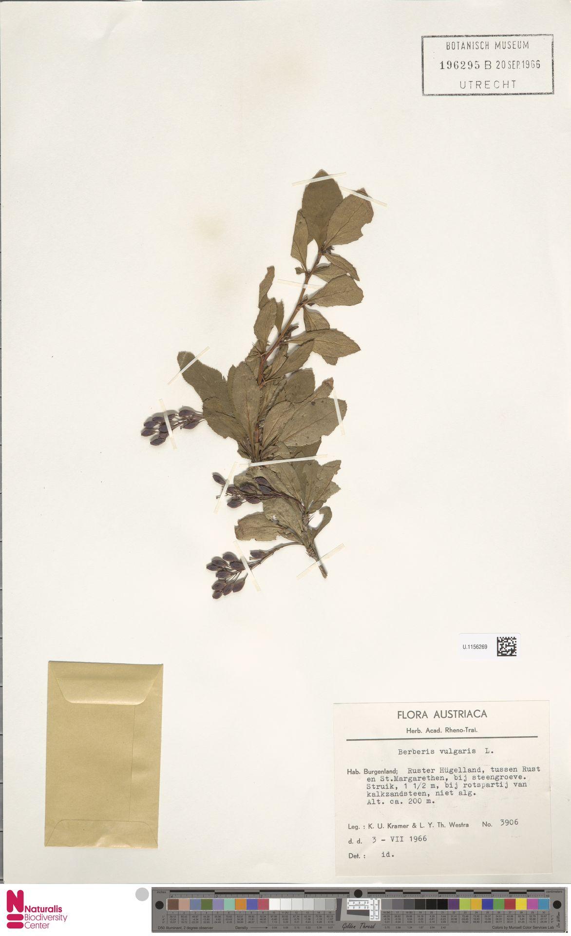 U.1156269 | Berberis vulgaris L.