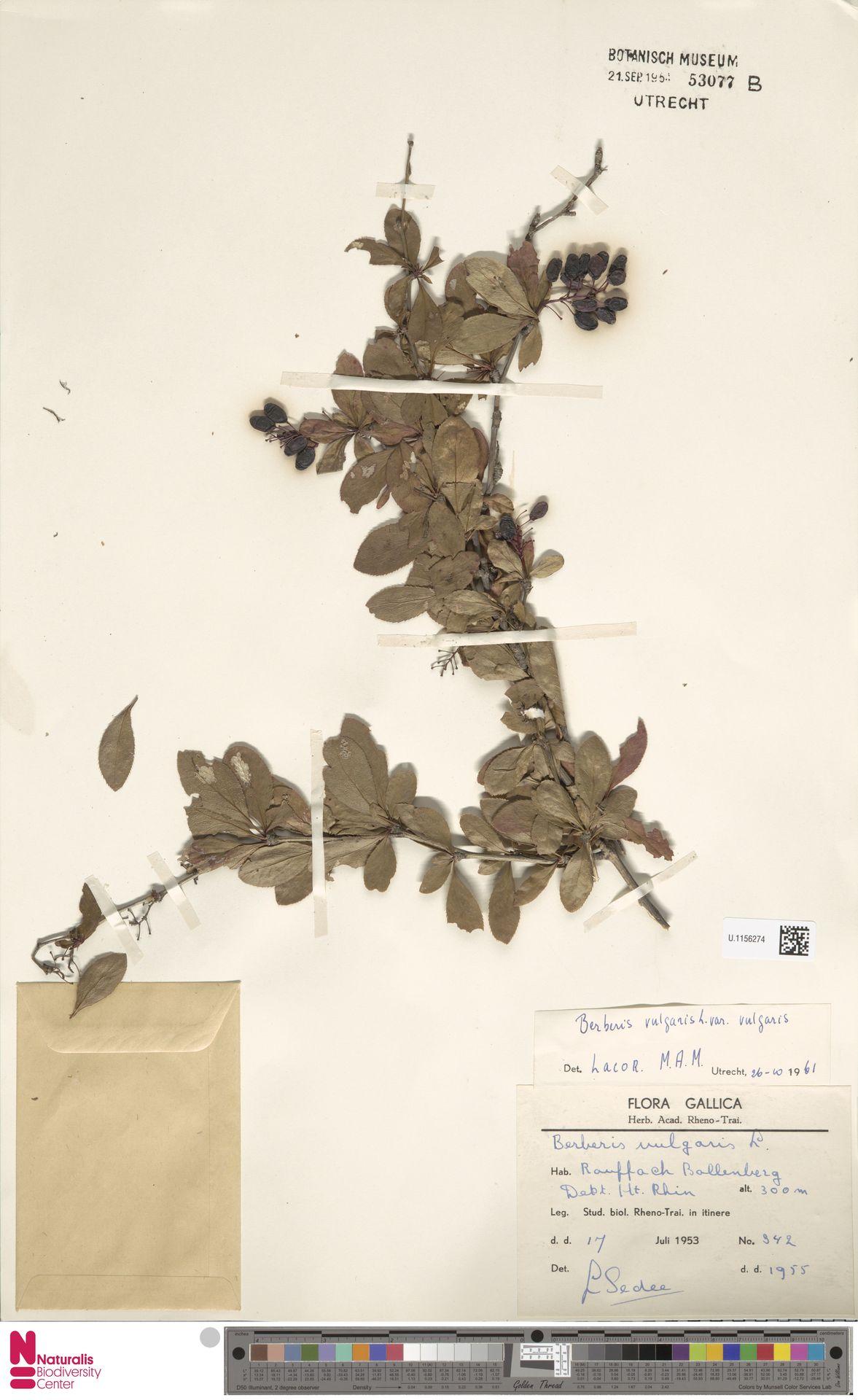 U.1156274 | Berberis vulgaris L.