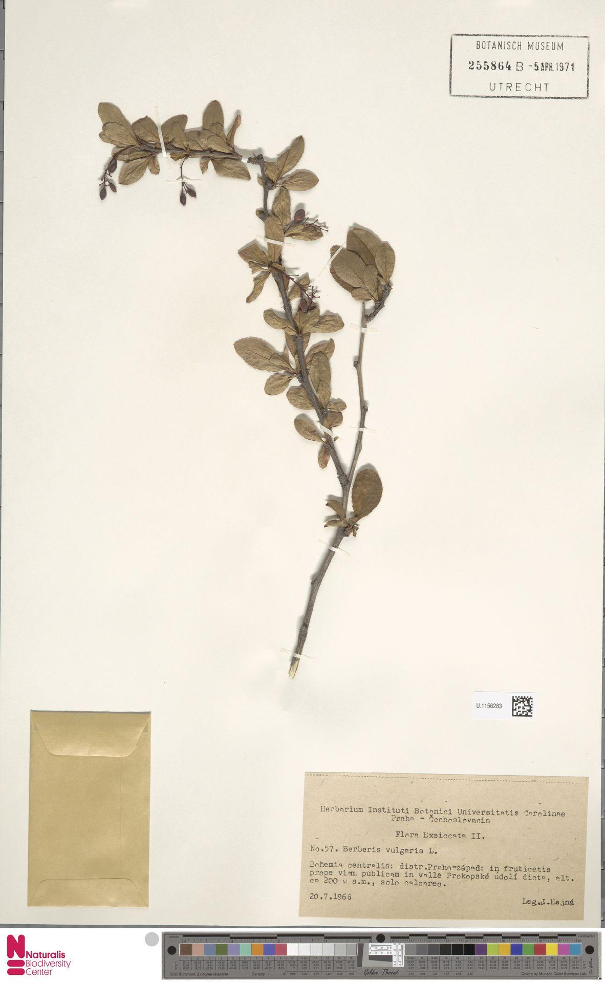 U.1156283 | Berberis vulgaris L.
