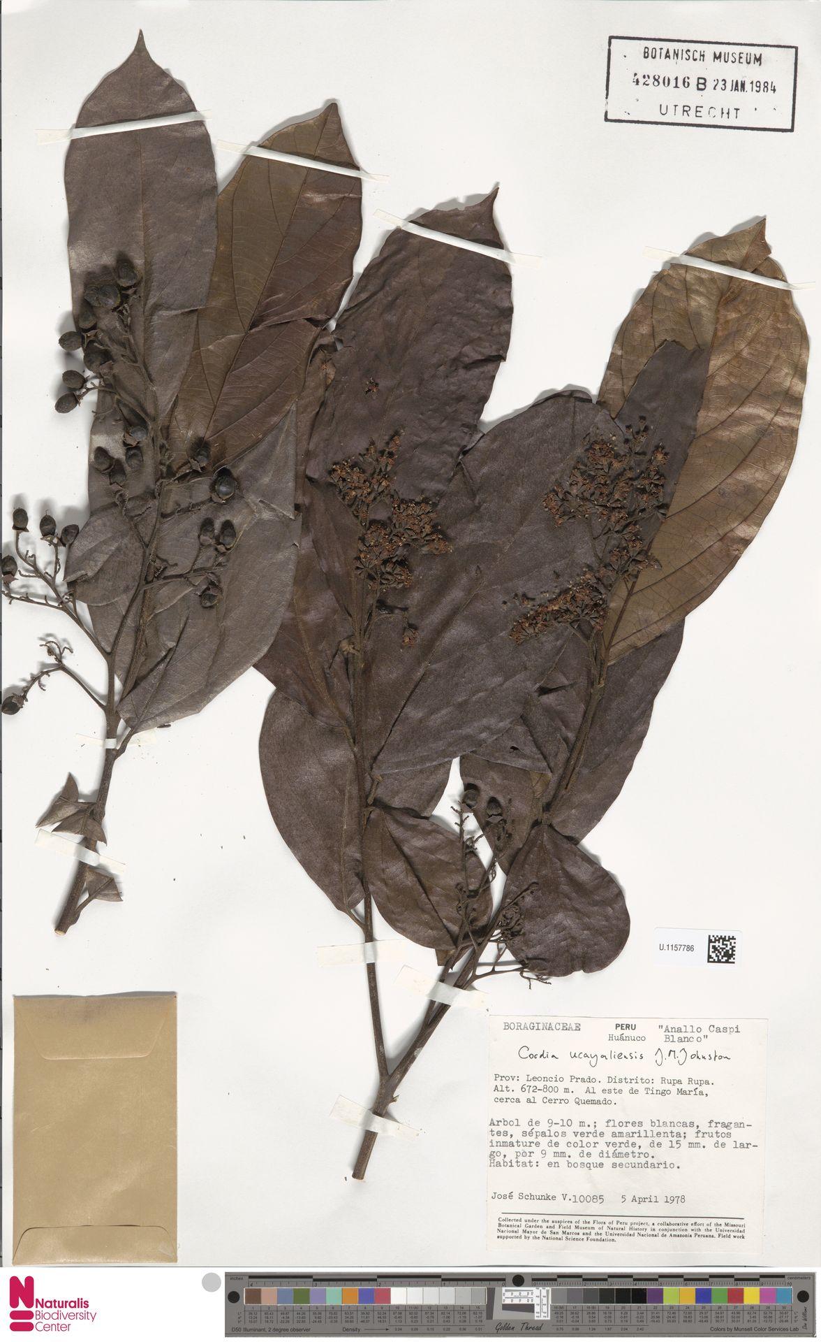 U.1157786   Cordia ucayaliensis I.M.Johnst.