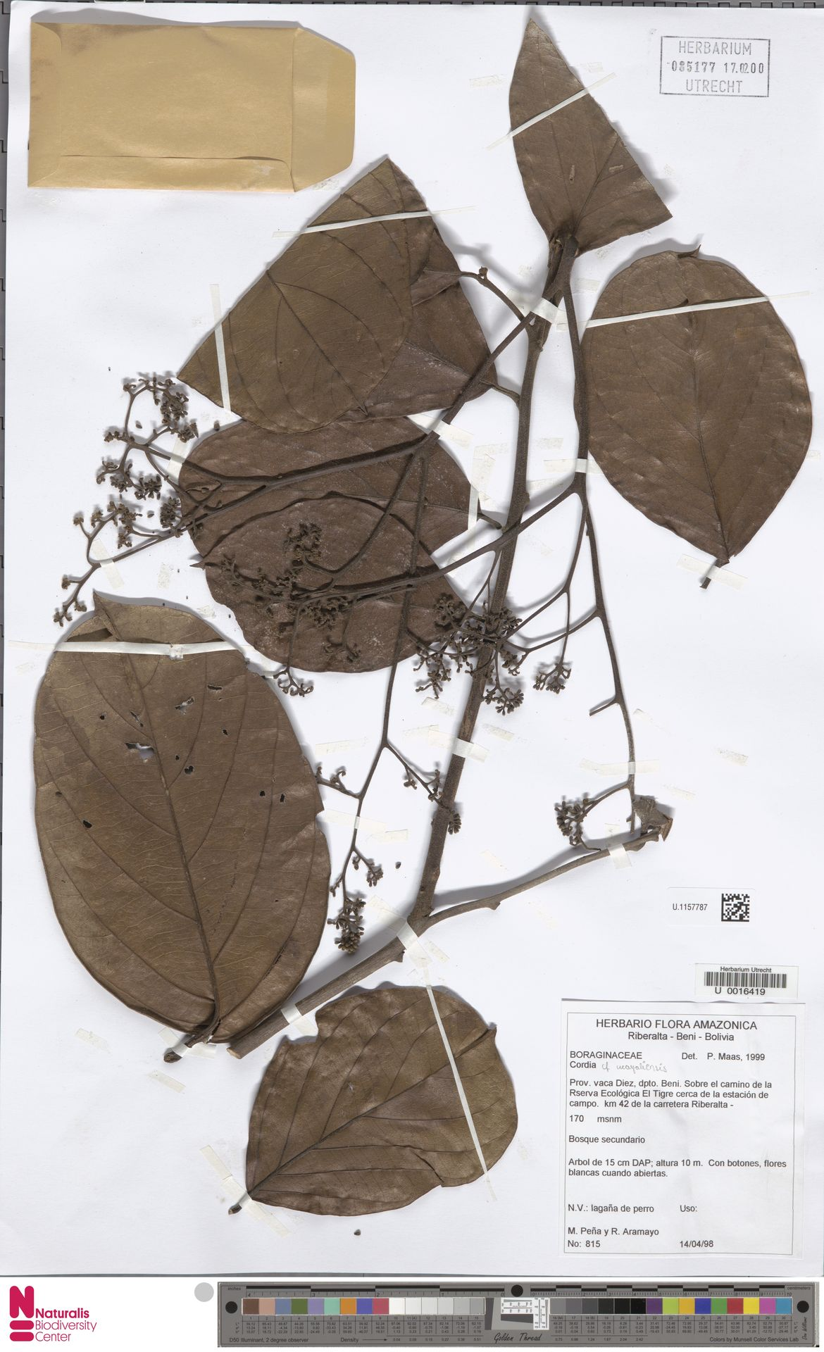 U.1157787 | Cordia ucayaliensis I.M.Johnst.