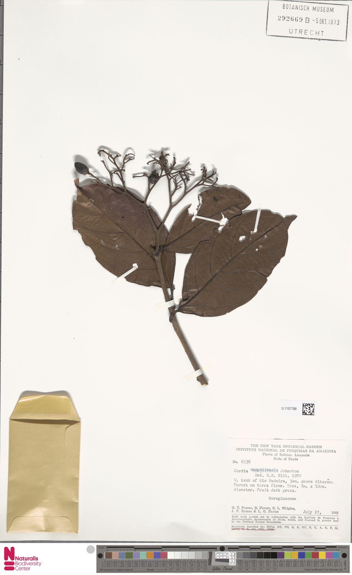 U.1157788 | Cordia ucayaliensis I.M.Johnst.