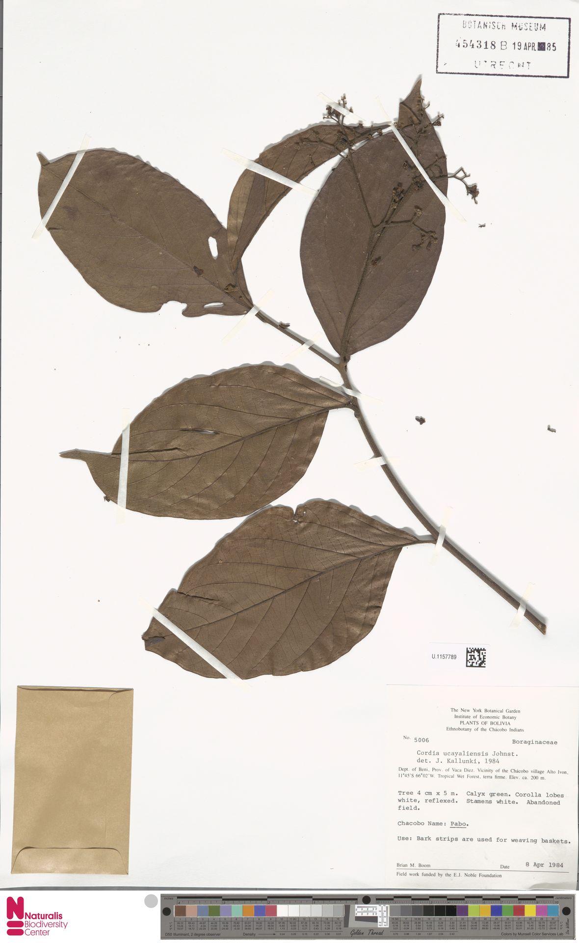 U.1157789 | Cordia ucayaliensis I.M.Johnst.